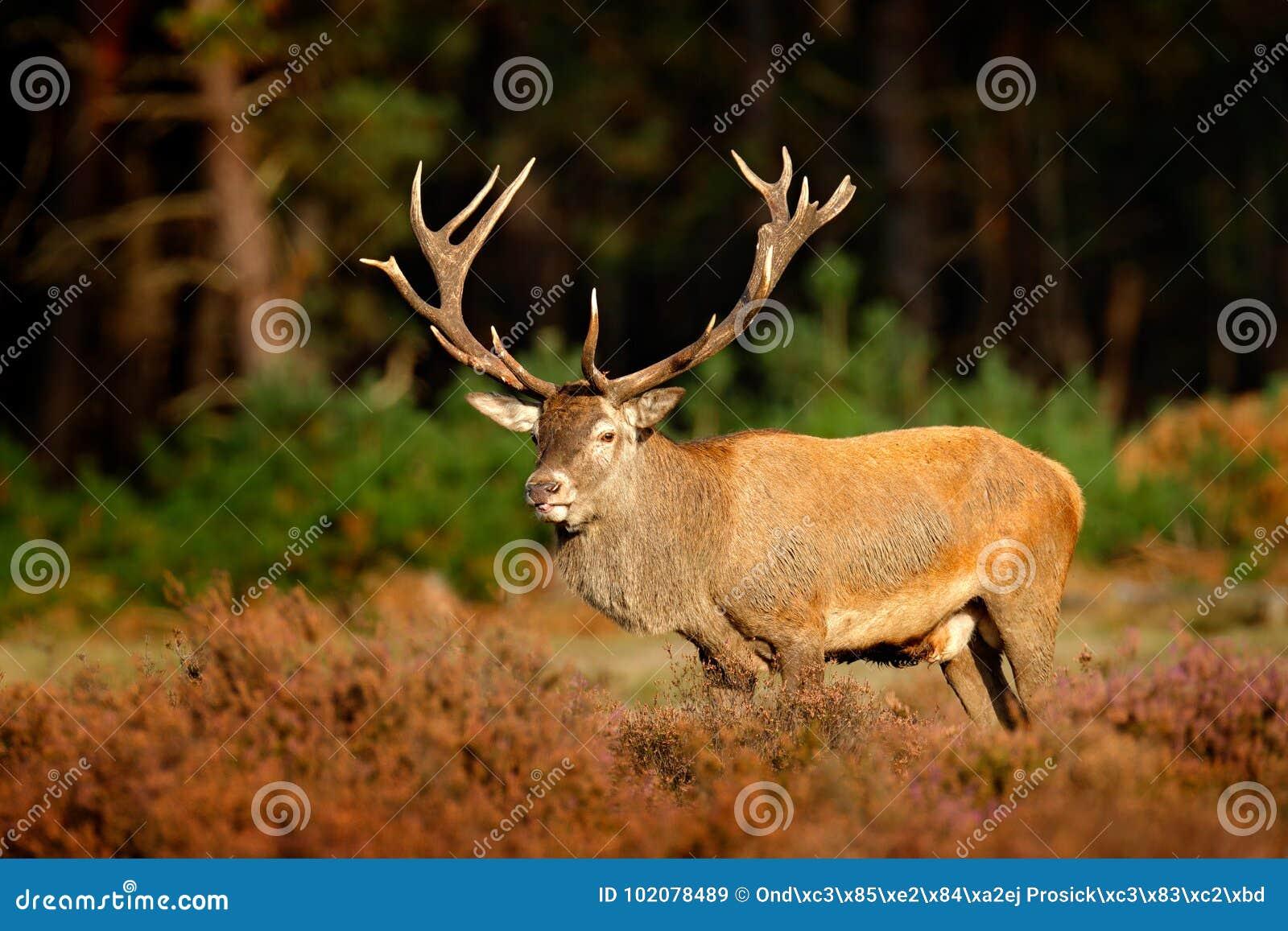 Красные олени, прокладывать сезон в Hoge Veluwe, Нидерланды Рогач оленей, ревет величественное мощное взрослое животное вне древе