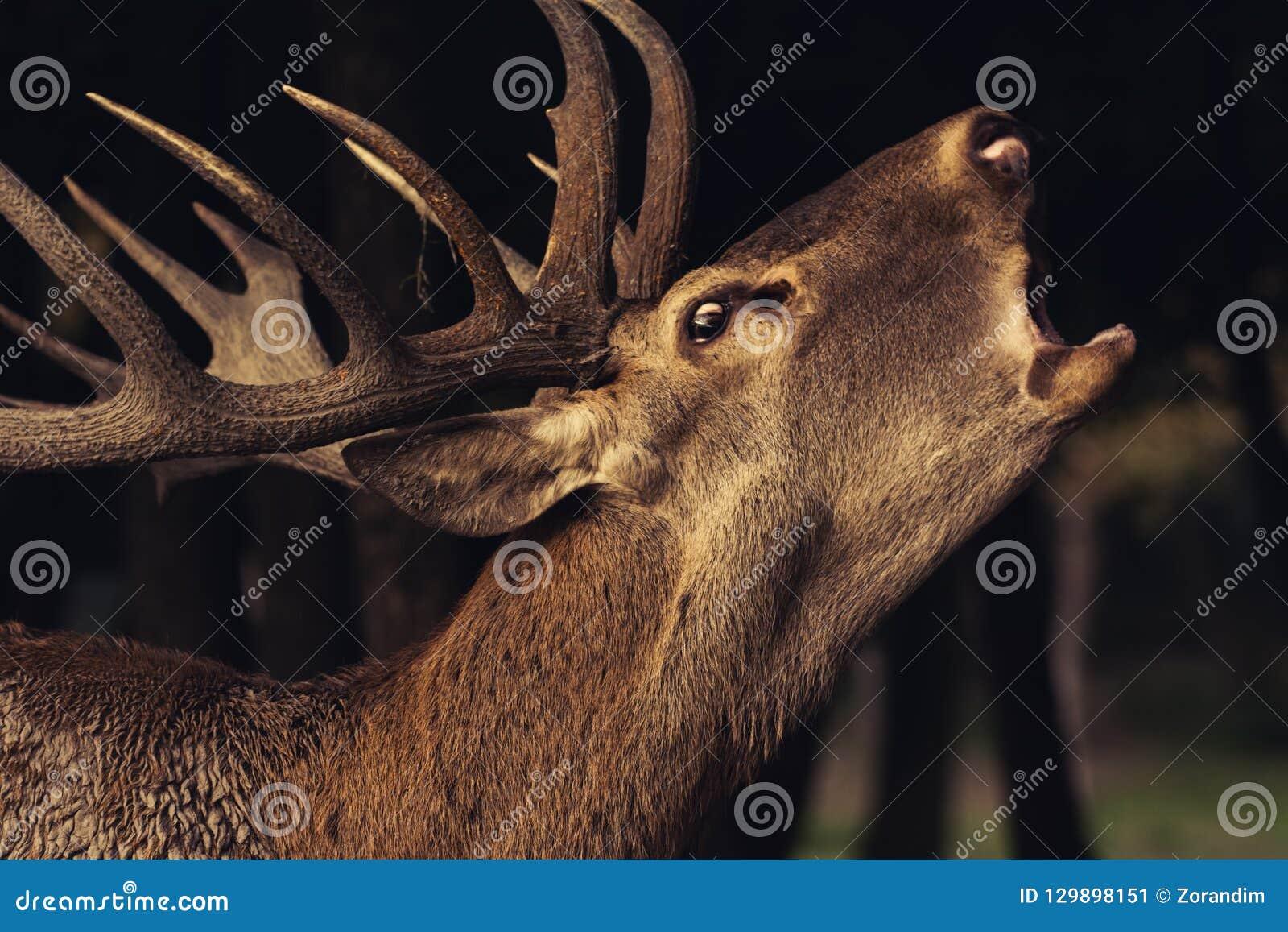 Красные олени с большими рожками, молодой красный олень близкий вверх