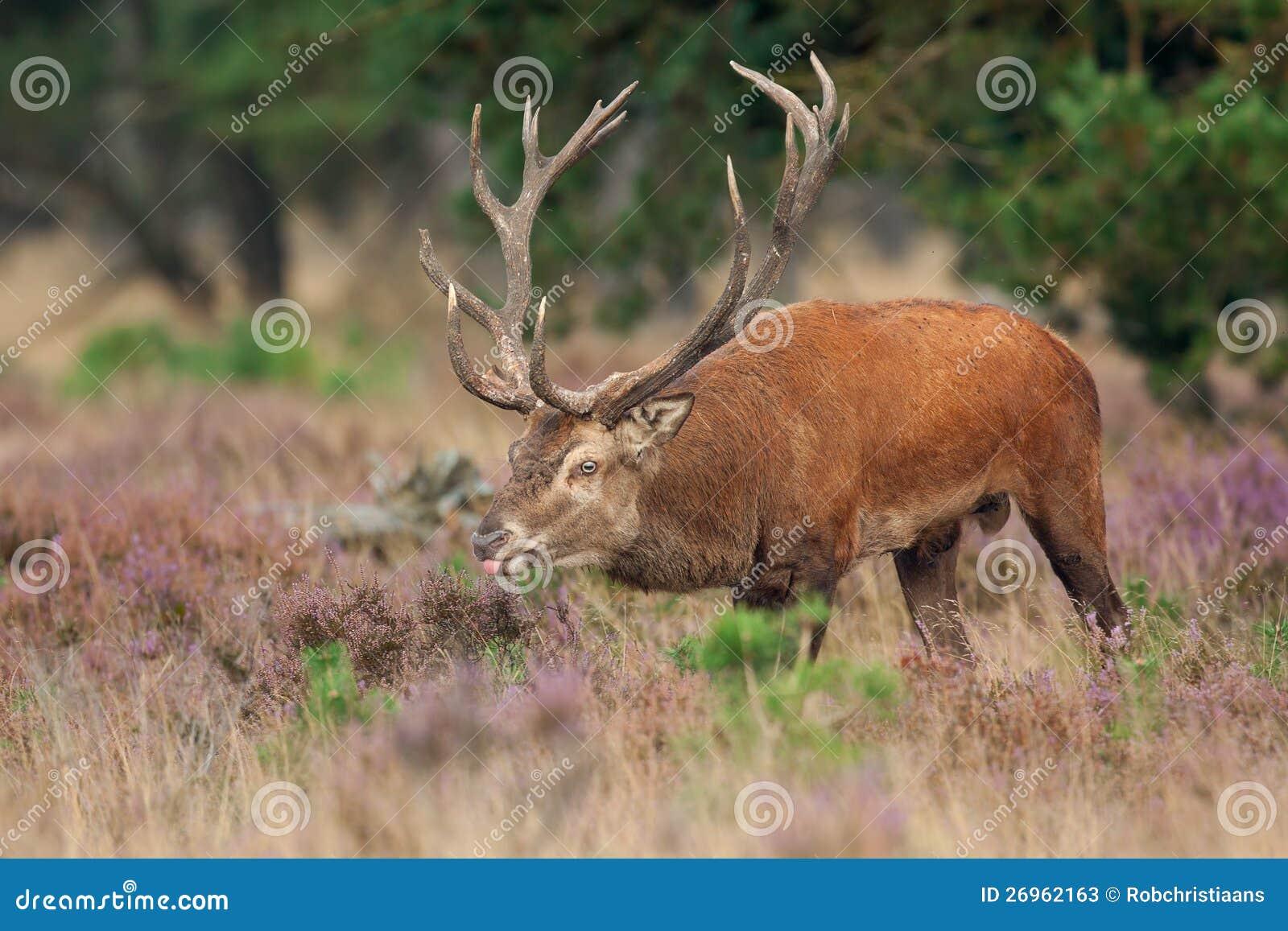 Красные олени (elaphus Cervus).