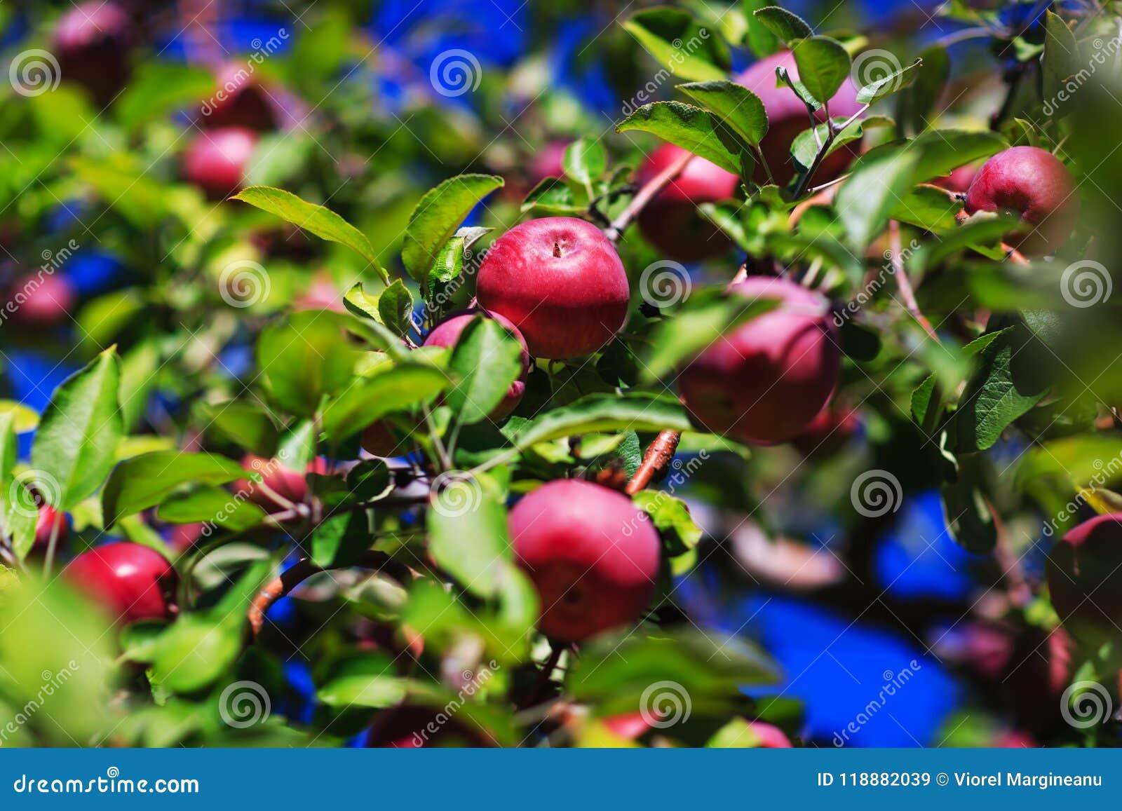 Красные органические яблоки вися от ветви дерева в яблоке осени