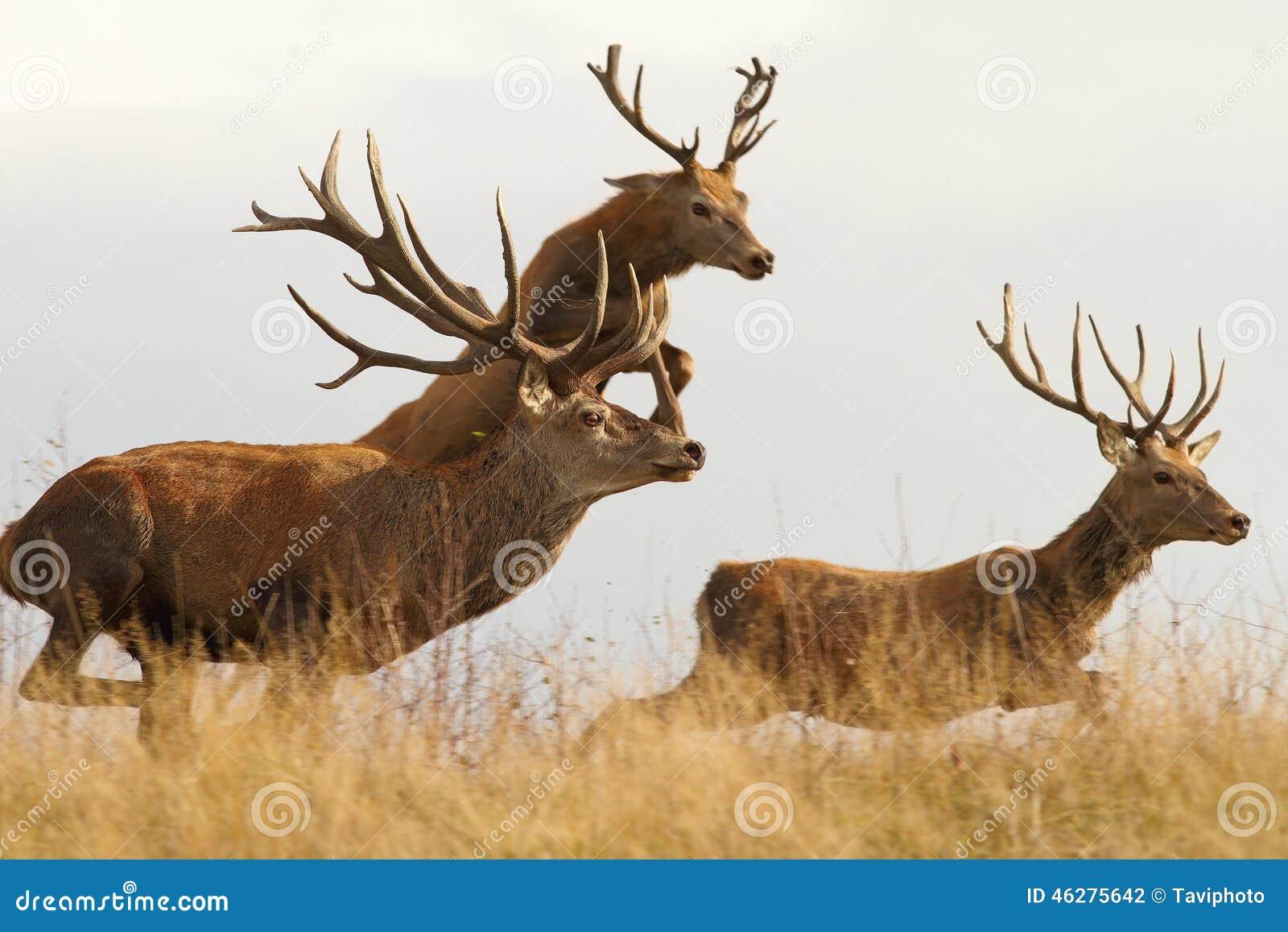 Красные олени на беге