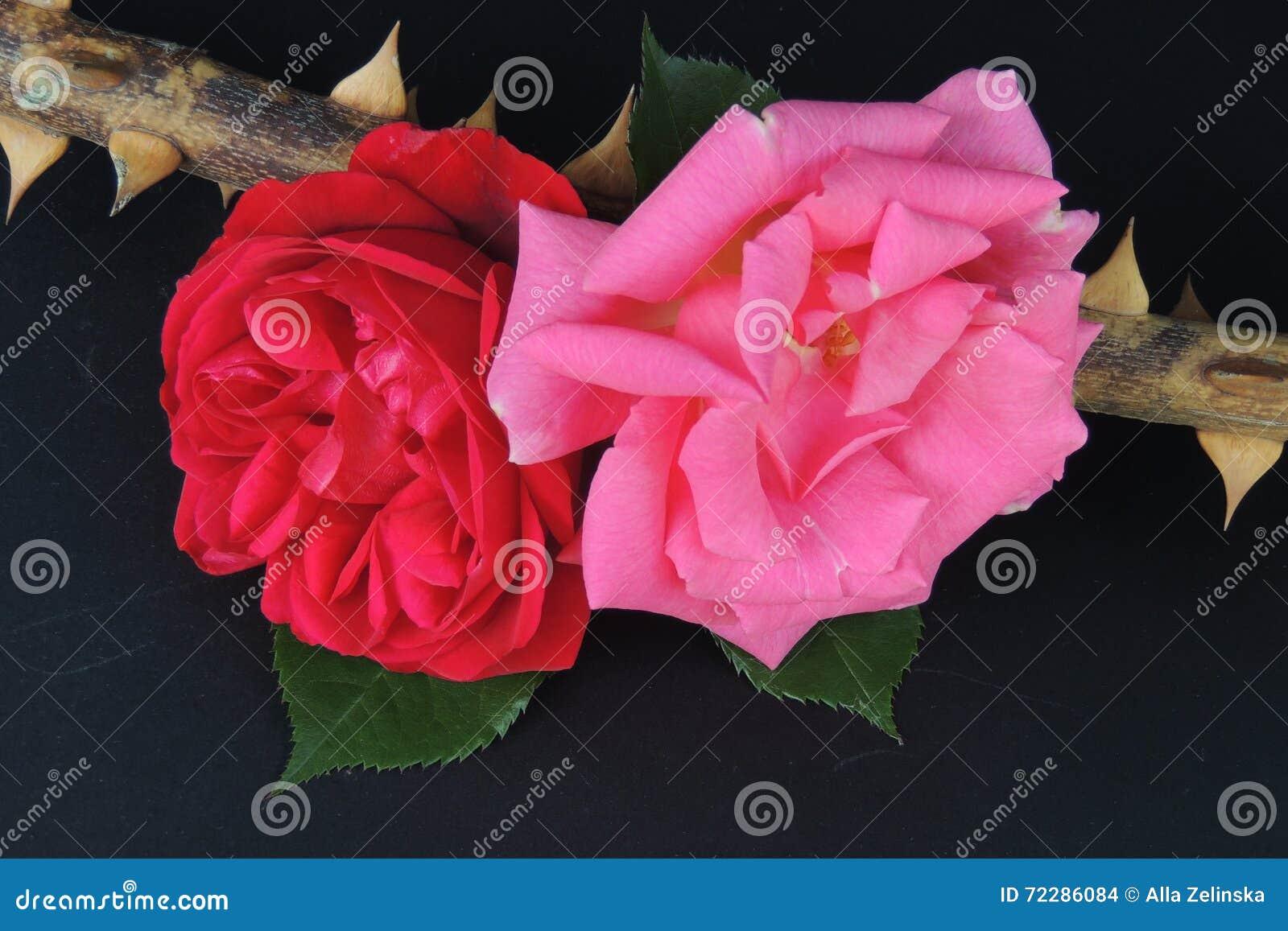 Download Красные розы на ветви с терниями на черной предпосылке Стоковое Фото - изображение насчитывающей вырастите, парк: 72286084