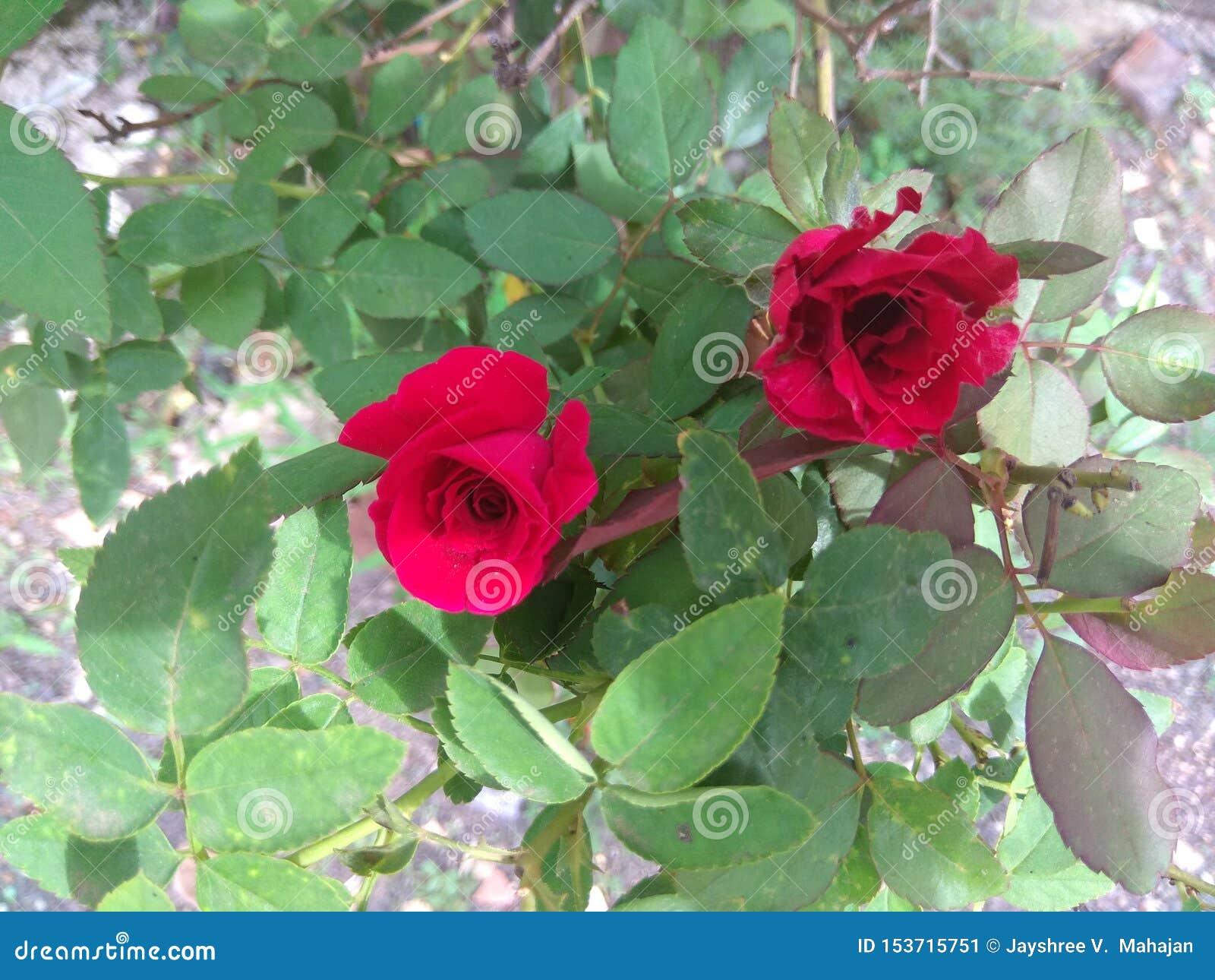 Красные розы с листьями
