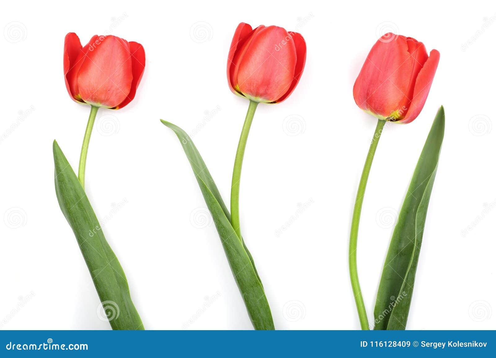 Красные тюльпаны изолированные на белой предпосылке Взгляд сверху Плоская картина положения