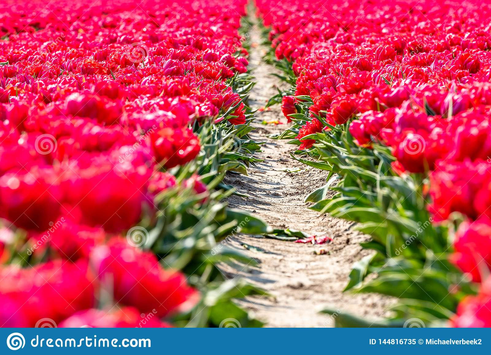 Красные тюльпаны на лугах во Флеволанде