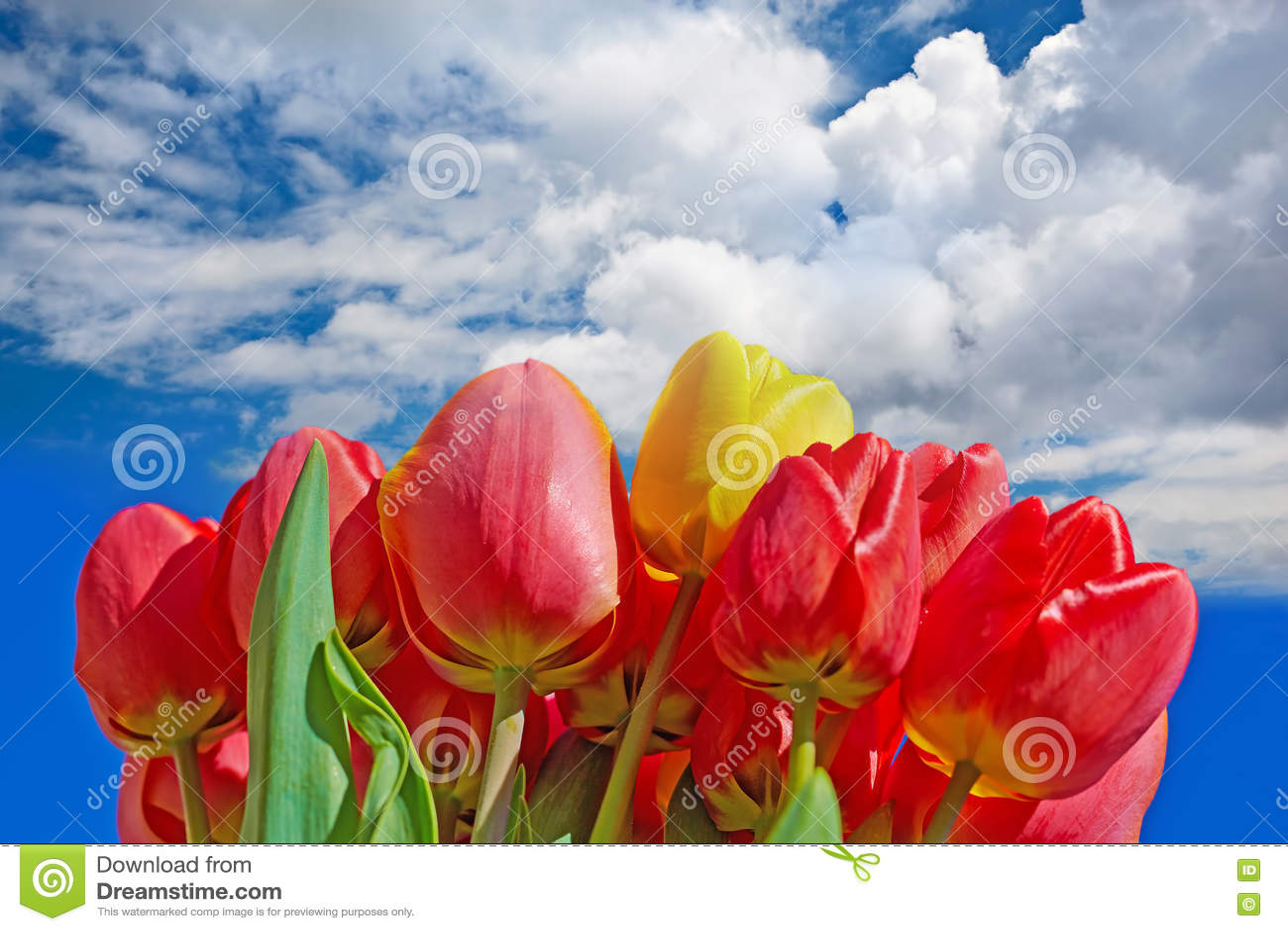 Download Красные тюльпаны стоковое изображение. изображение насчитывающей цветы - 72286005