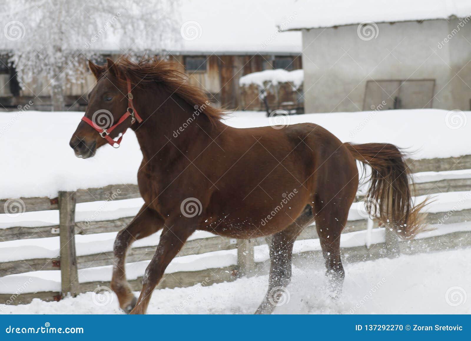 Красные тяжелые бега лошади gallop в зиме