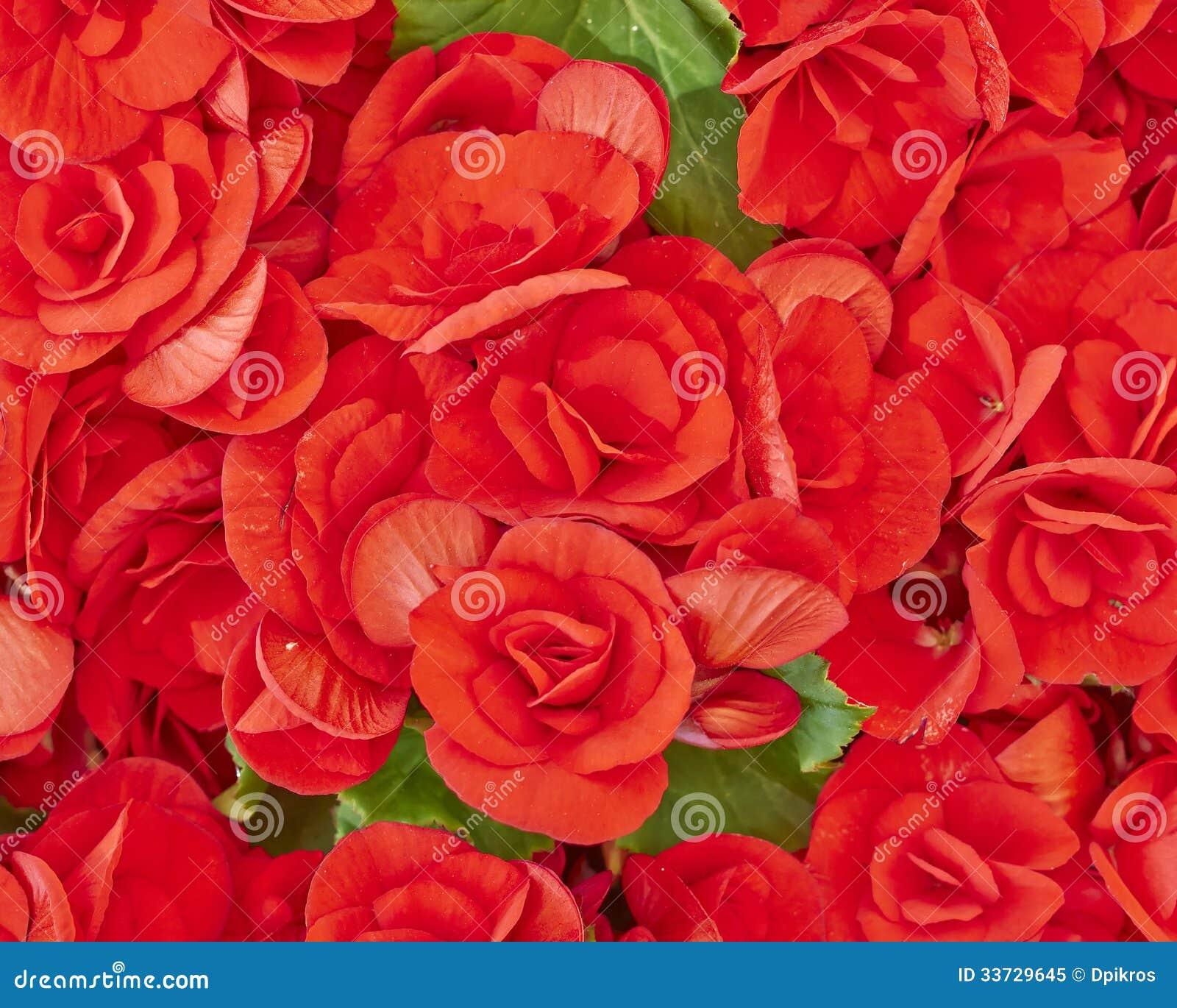 Красные цветки бегонии