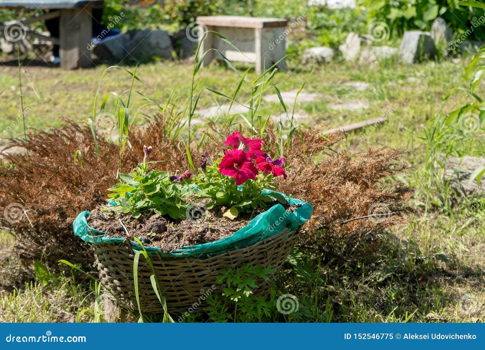 Красные цветки в корзине в саде