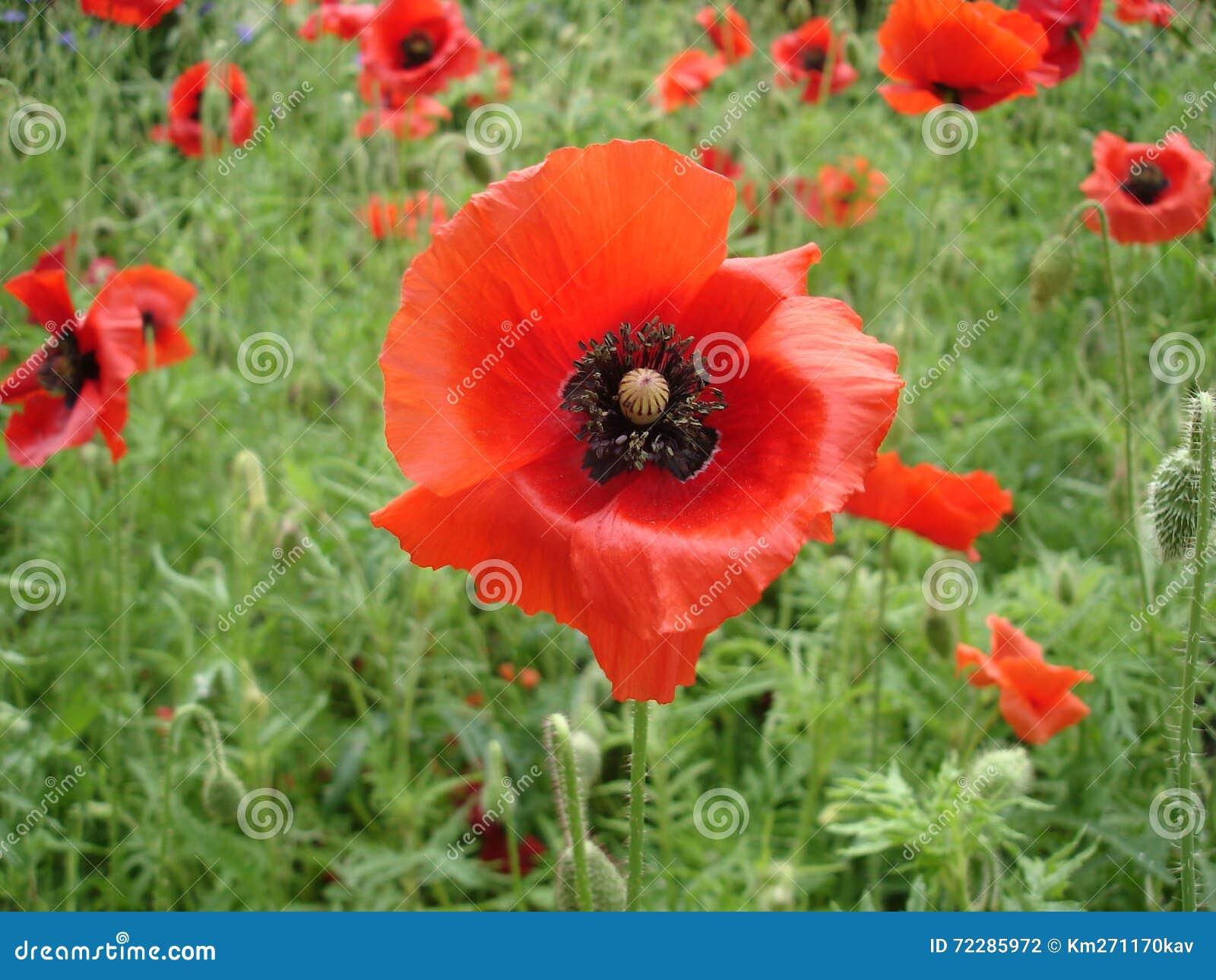 Download Красные цветки и бутоны мака Стоковое Фото - изображение насчитывающей трава, завод: 72285972