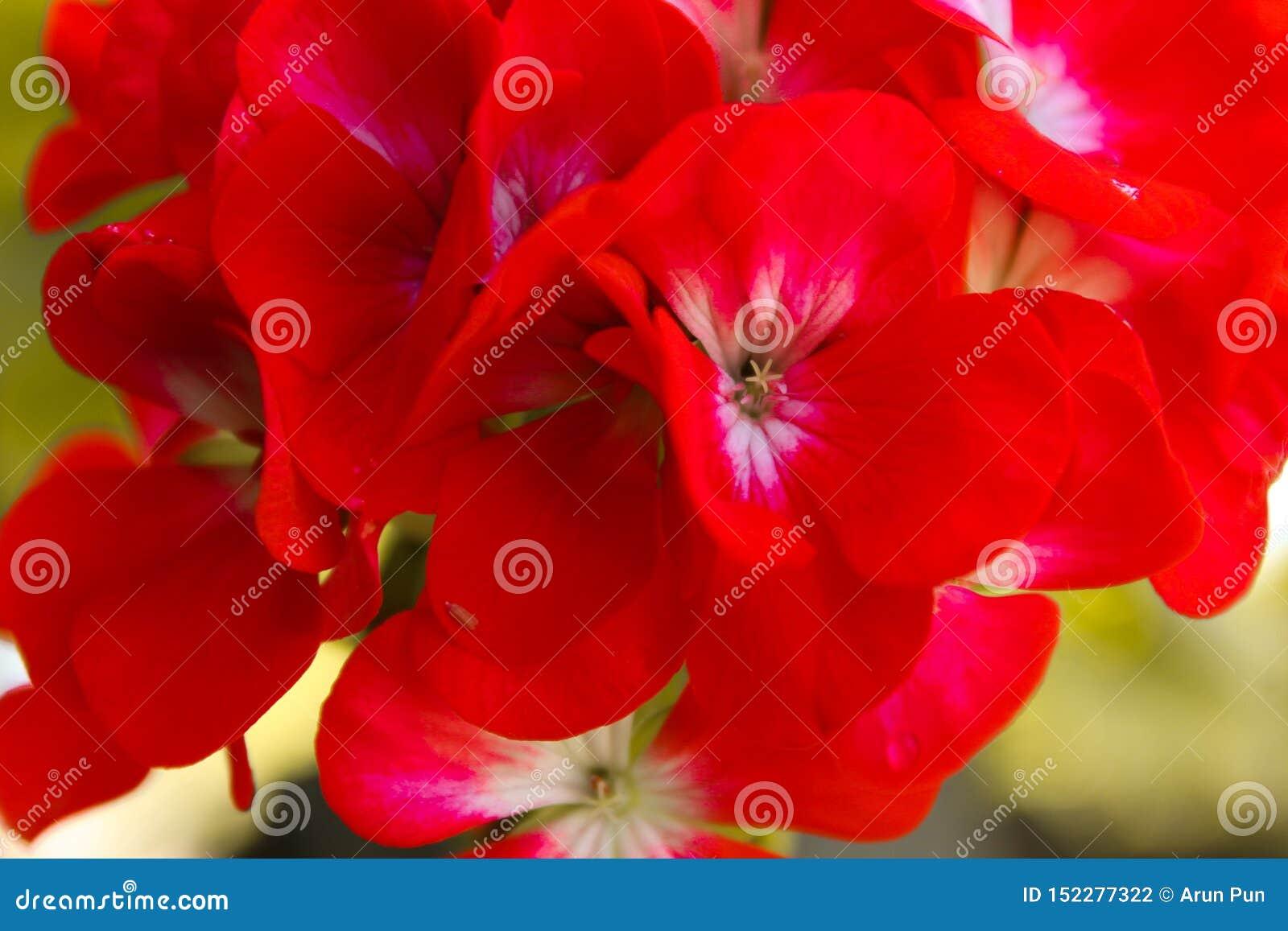 Красные цветки