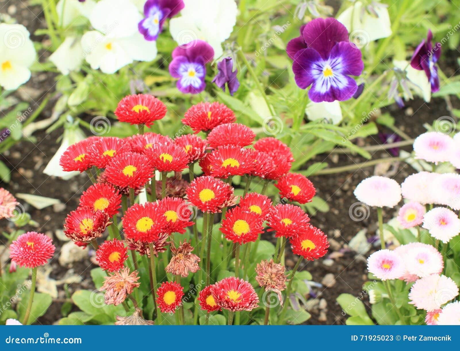 Красные цветки - immortelle