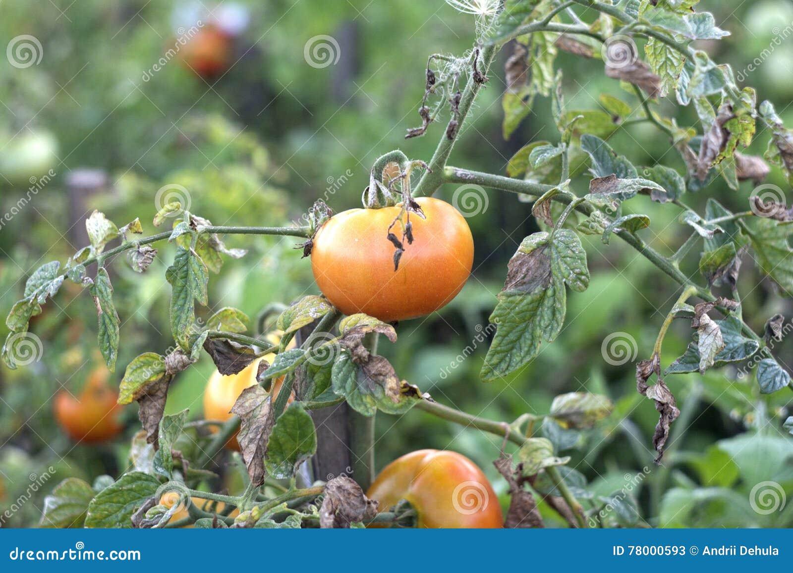 Красные цветы томата