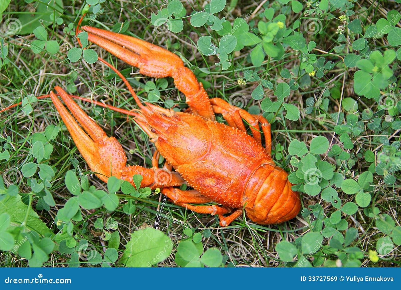 Красные crawfish