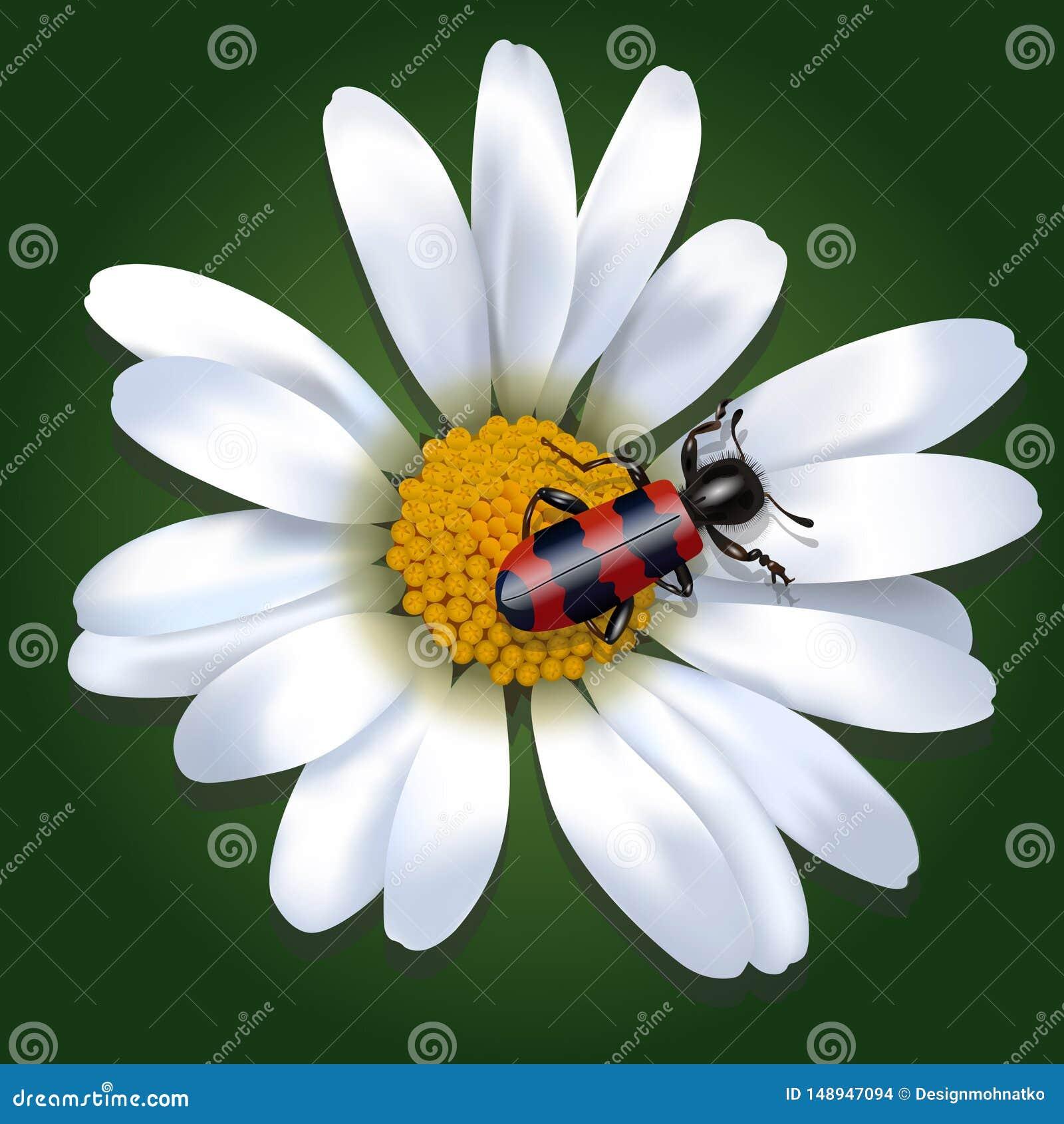 Красный и черный жук на цветке маргаритки