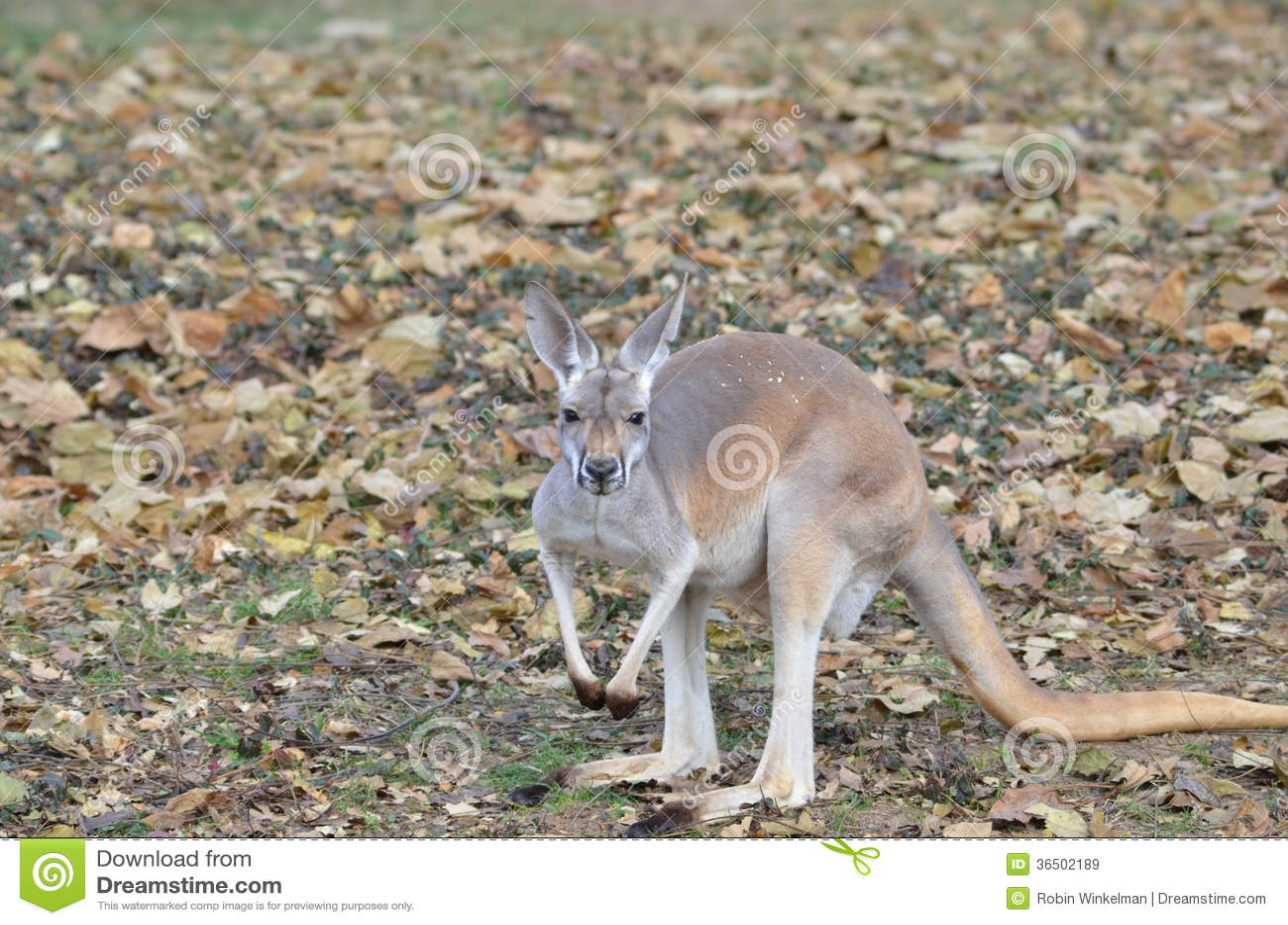 Красный кенгуру среди листьев