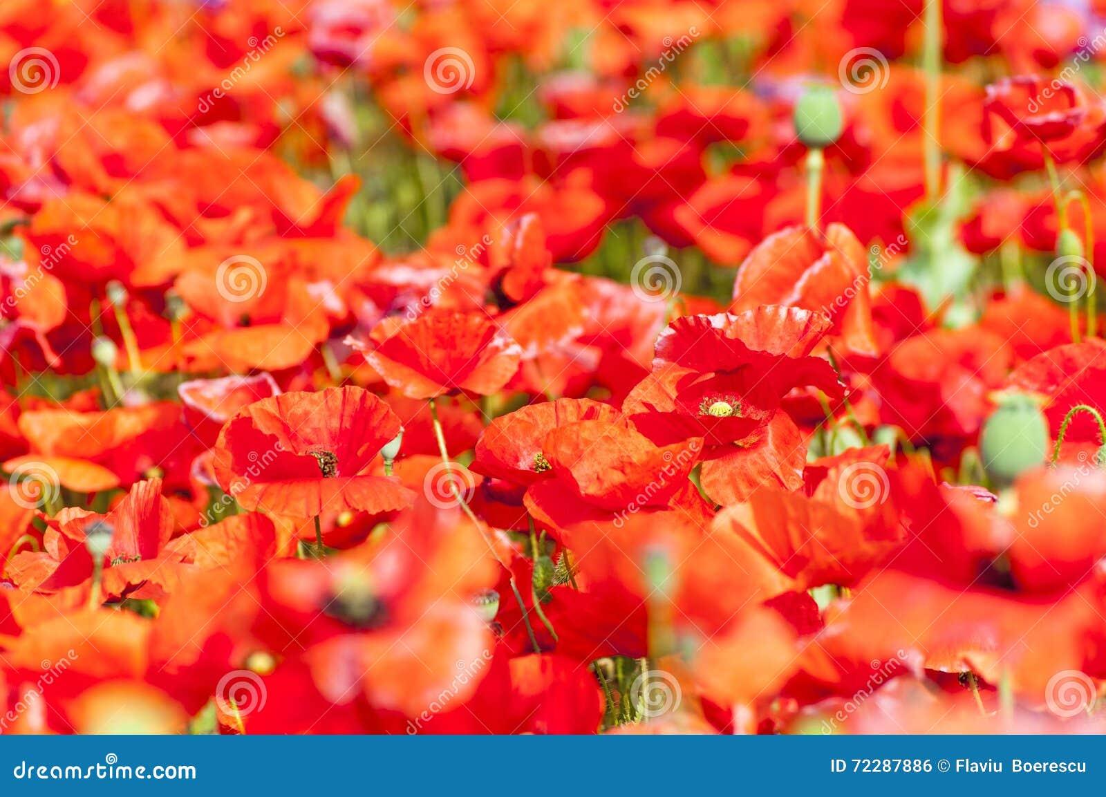 Download Красный мак - Somniferum (опиумный мак) Стоковое Фото - изображение насчитывающей green, семя: 72287886