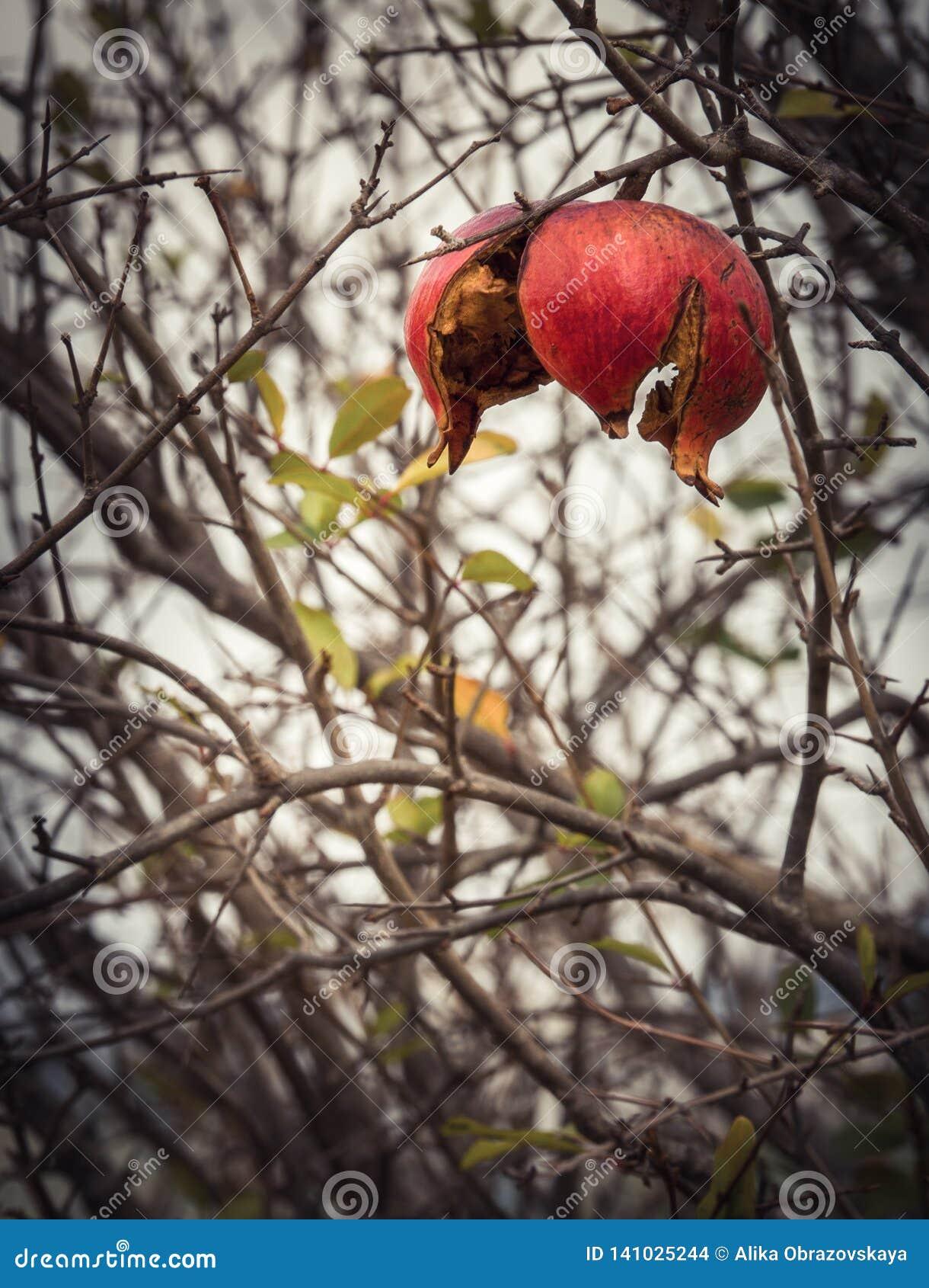 Красный плод гранатового дерева в зиме в Греции на пасмурный день после дождя