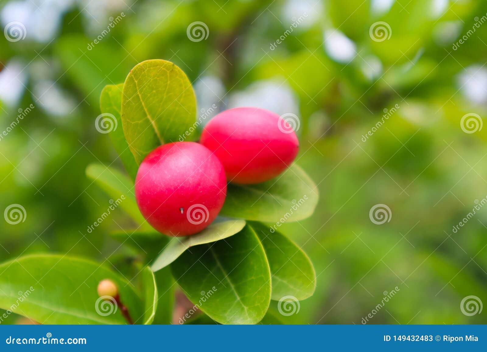 Красный плод клюквы