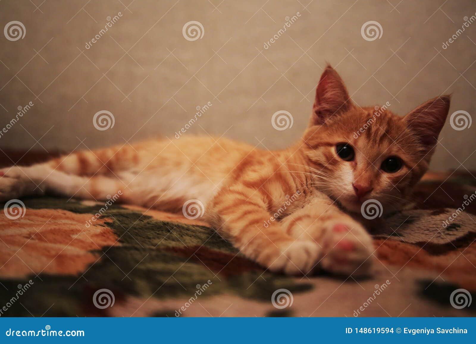 Красный пушистый кот лежит на задней части софы