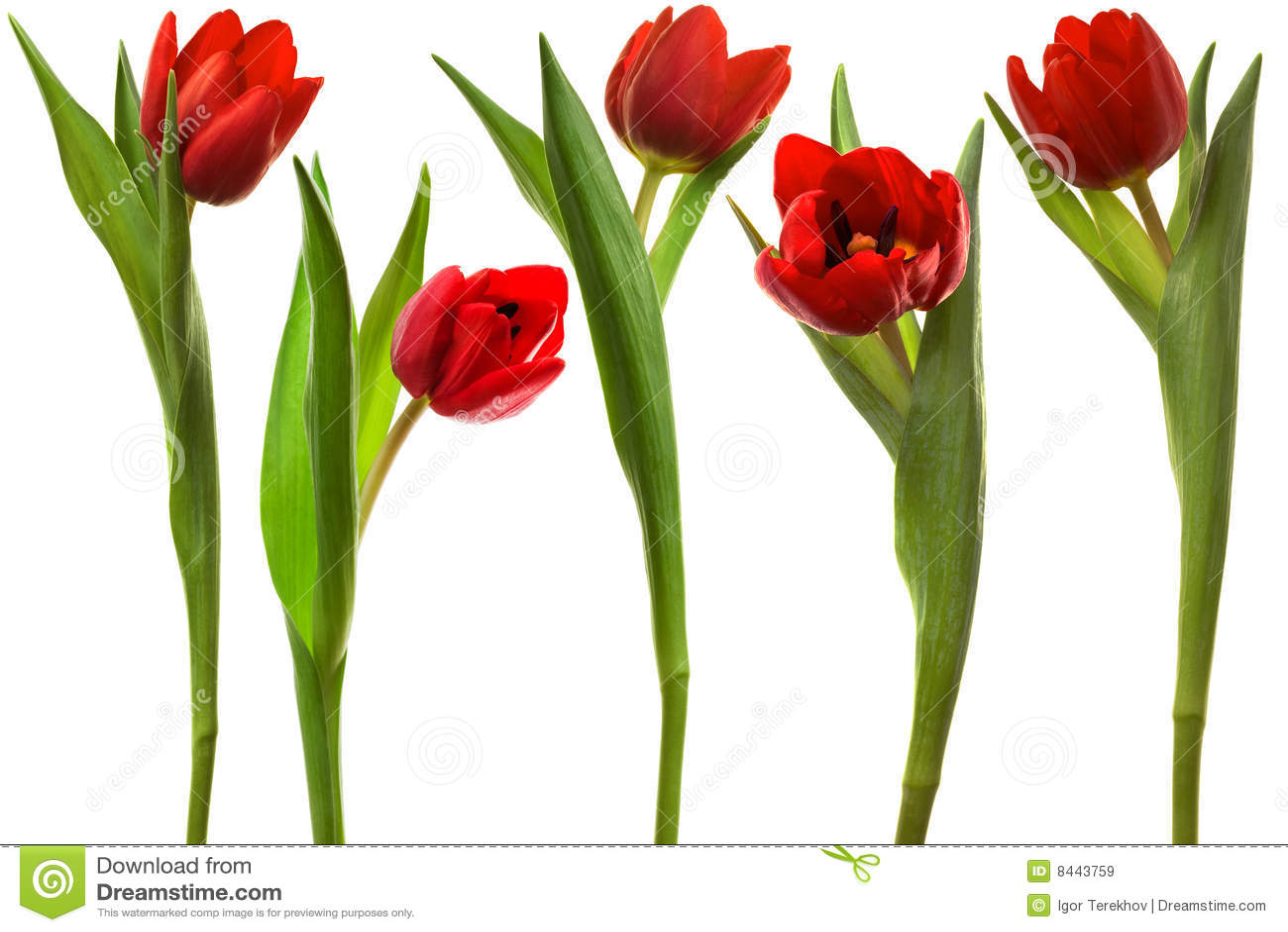 красный тюльпан фото