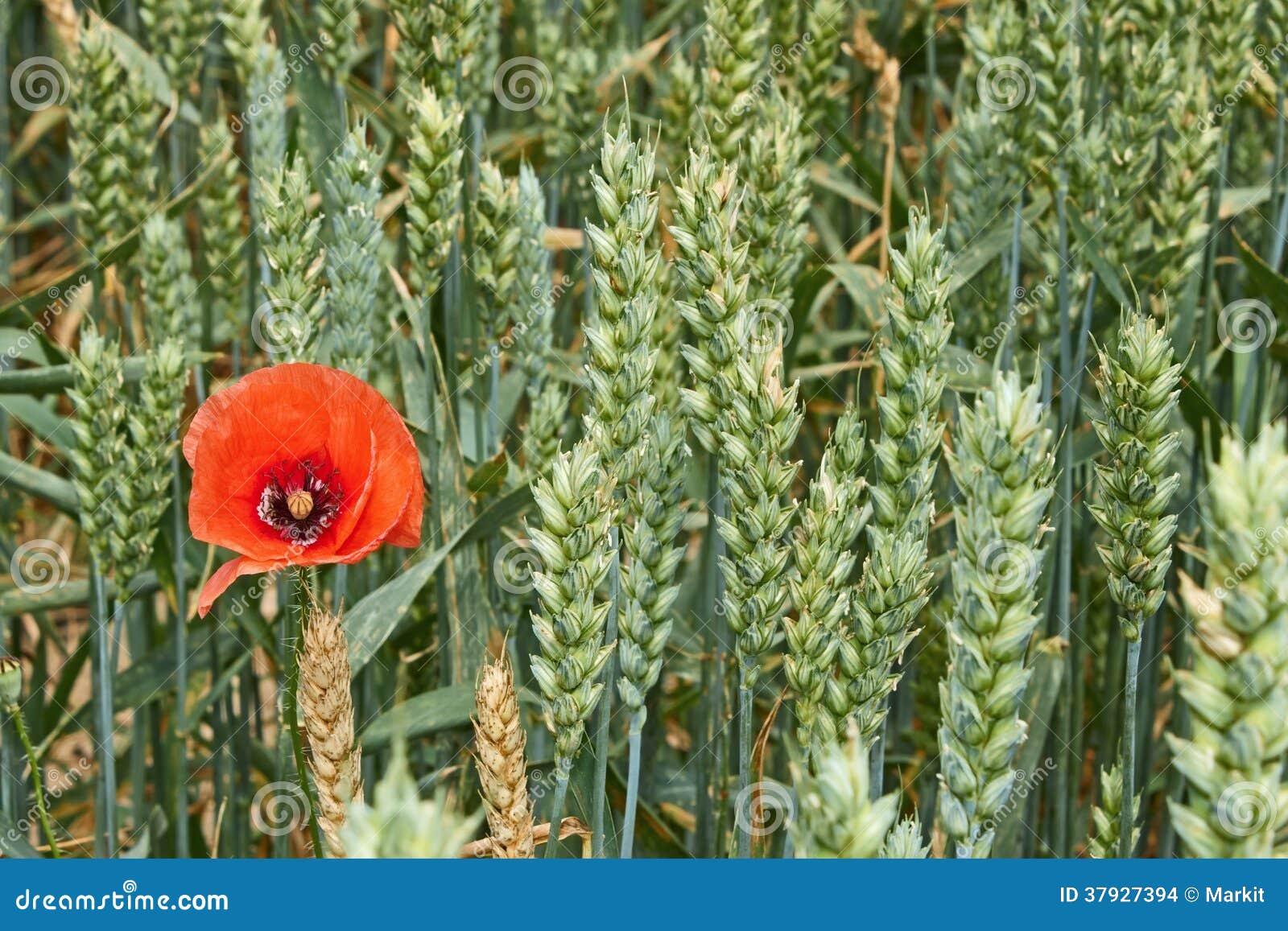 Красный цветок мака среди зеленых ушей пшеницы