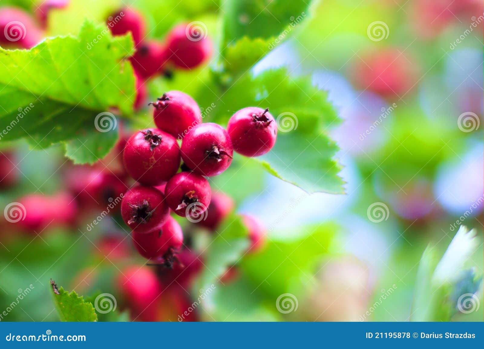 красный цвет боярышника ягод предпосылки цветастый