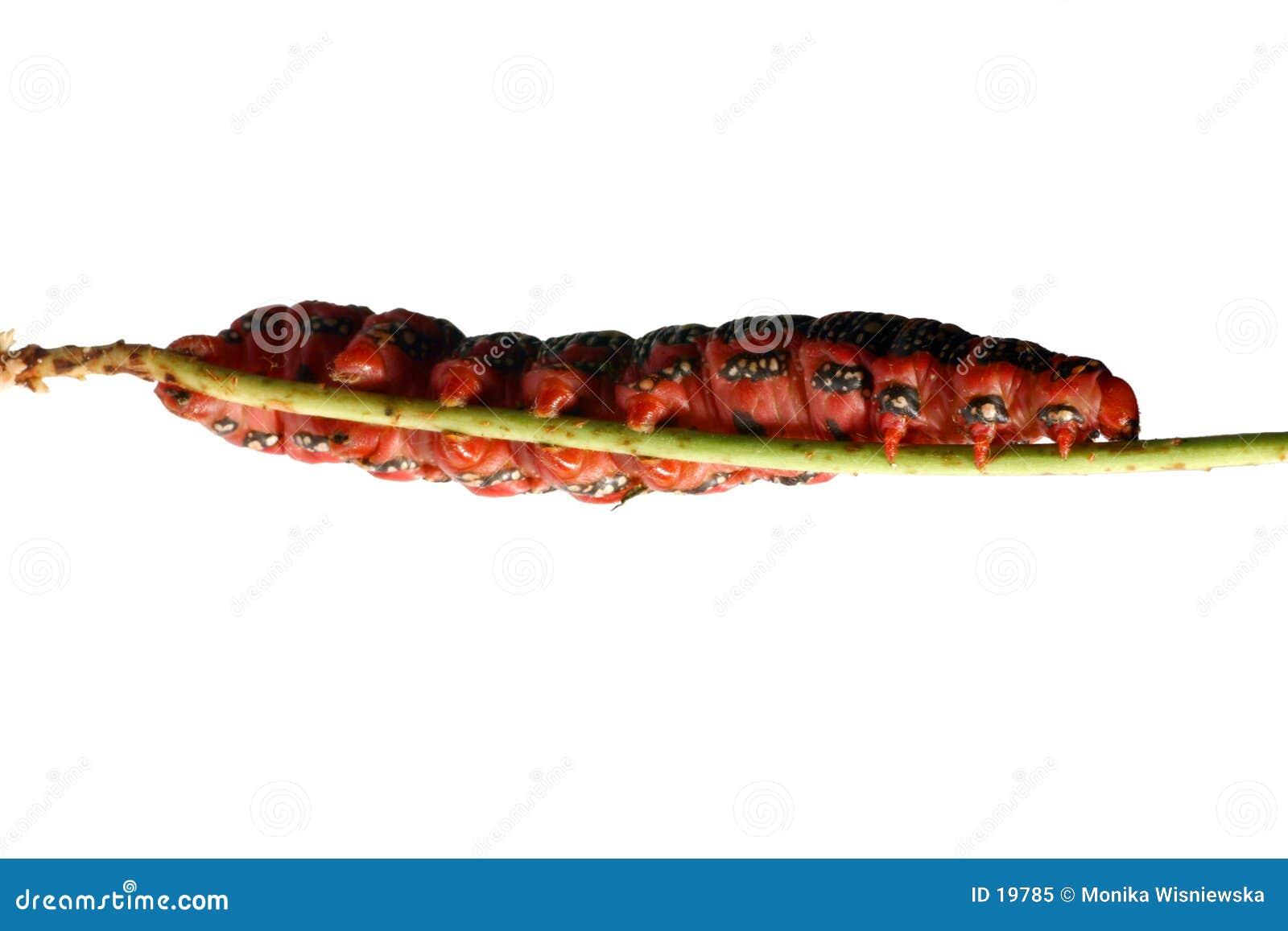 красный цвет гусеницы тучный