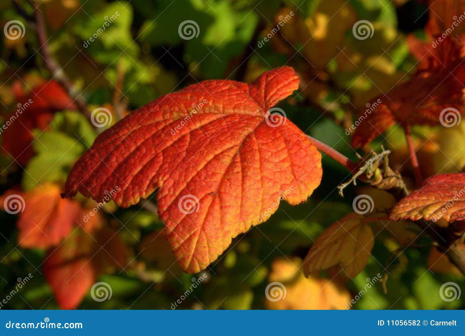 красный цвет листьев осени