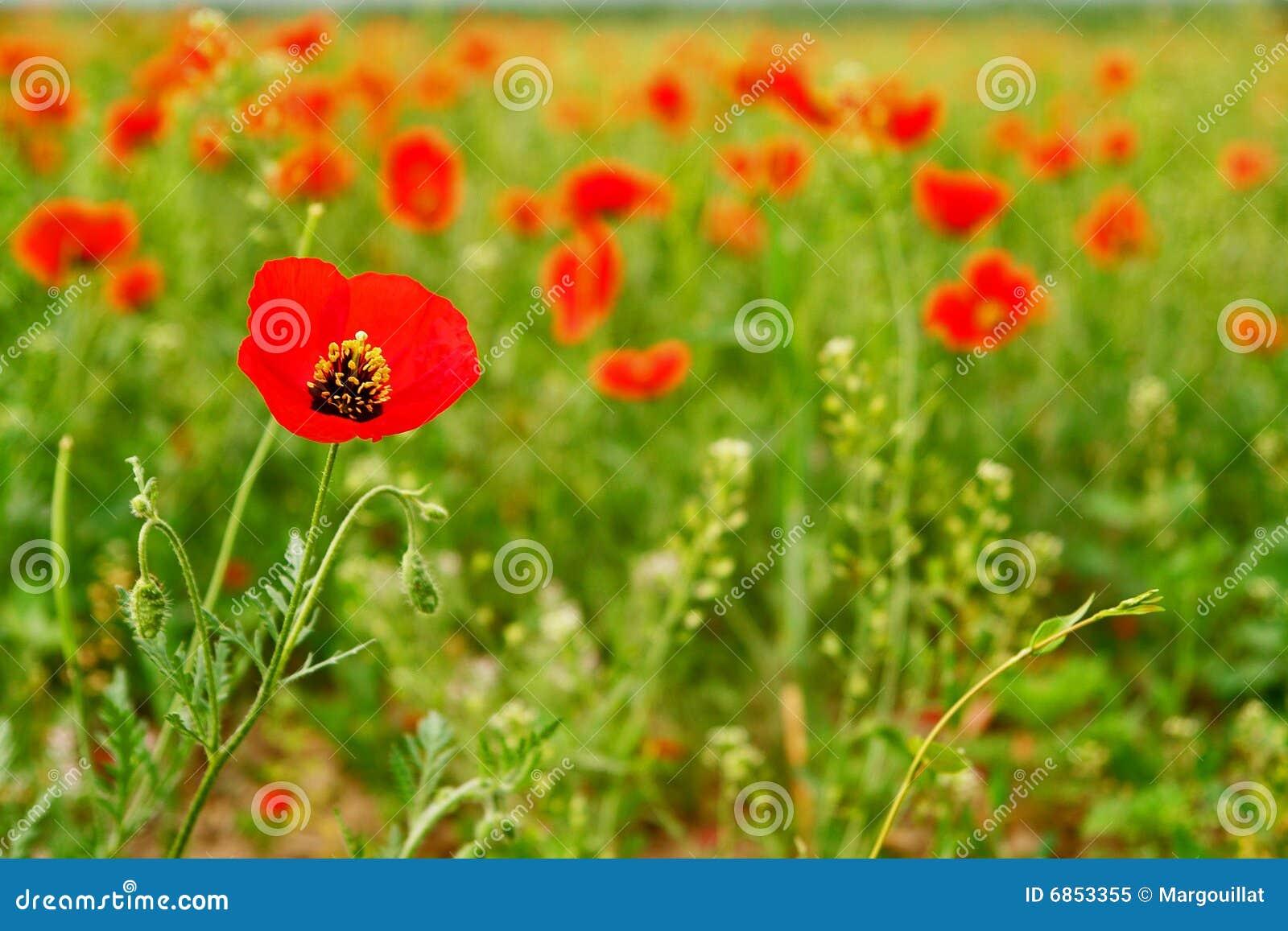 красный цвет мака поля