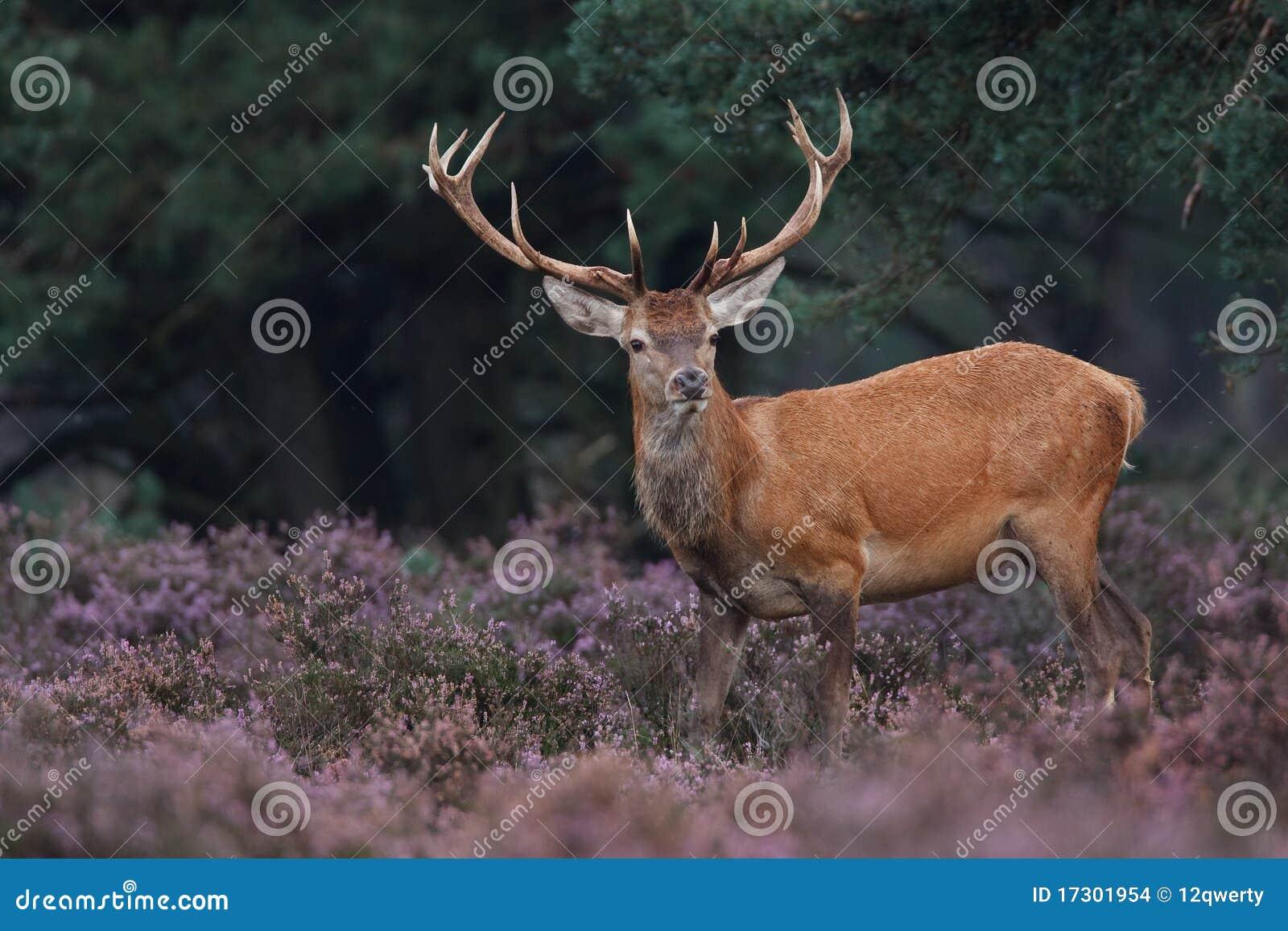 красный цвет оленей