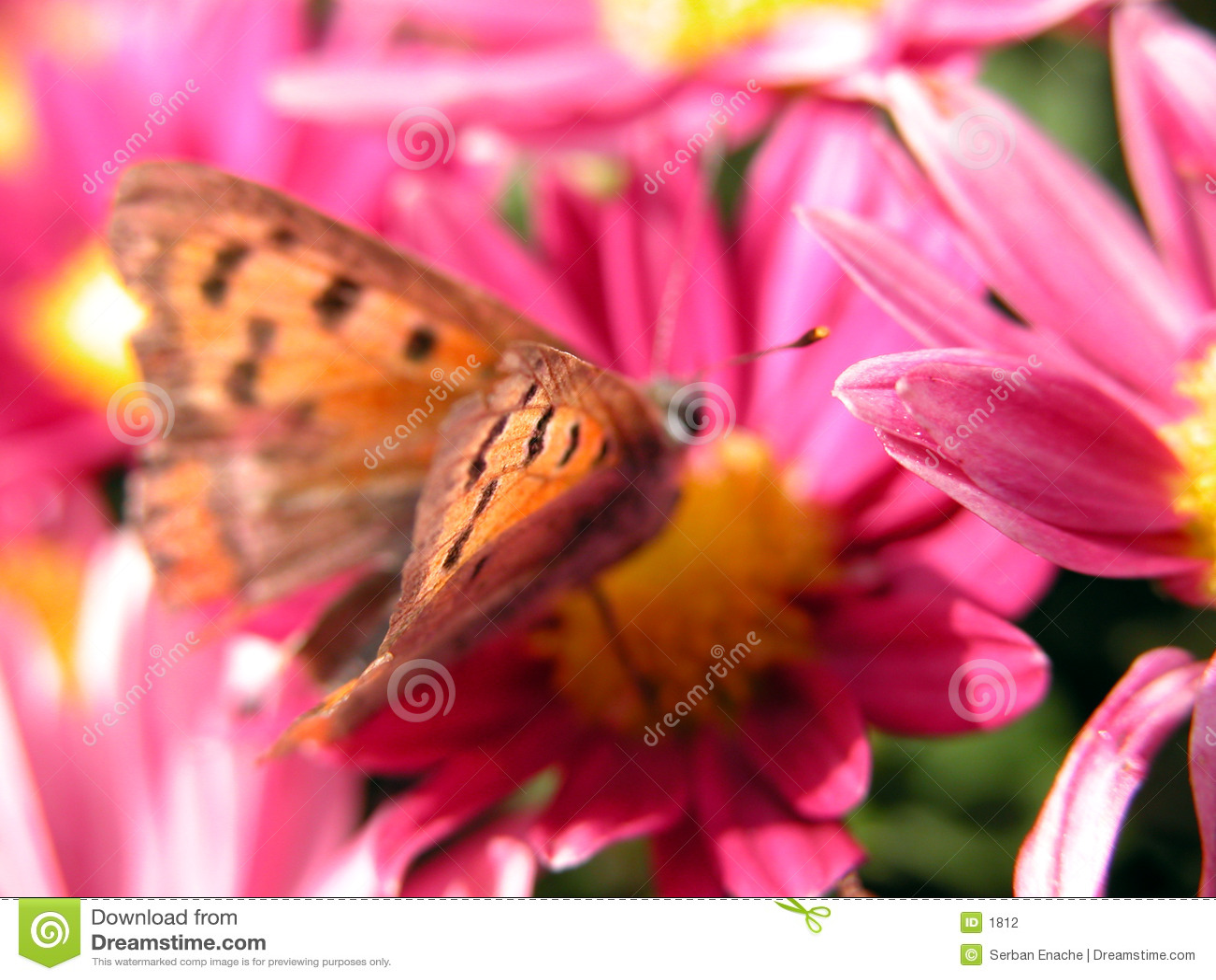 красный цвет цветка бабочки