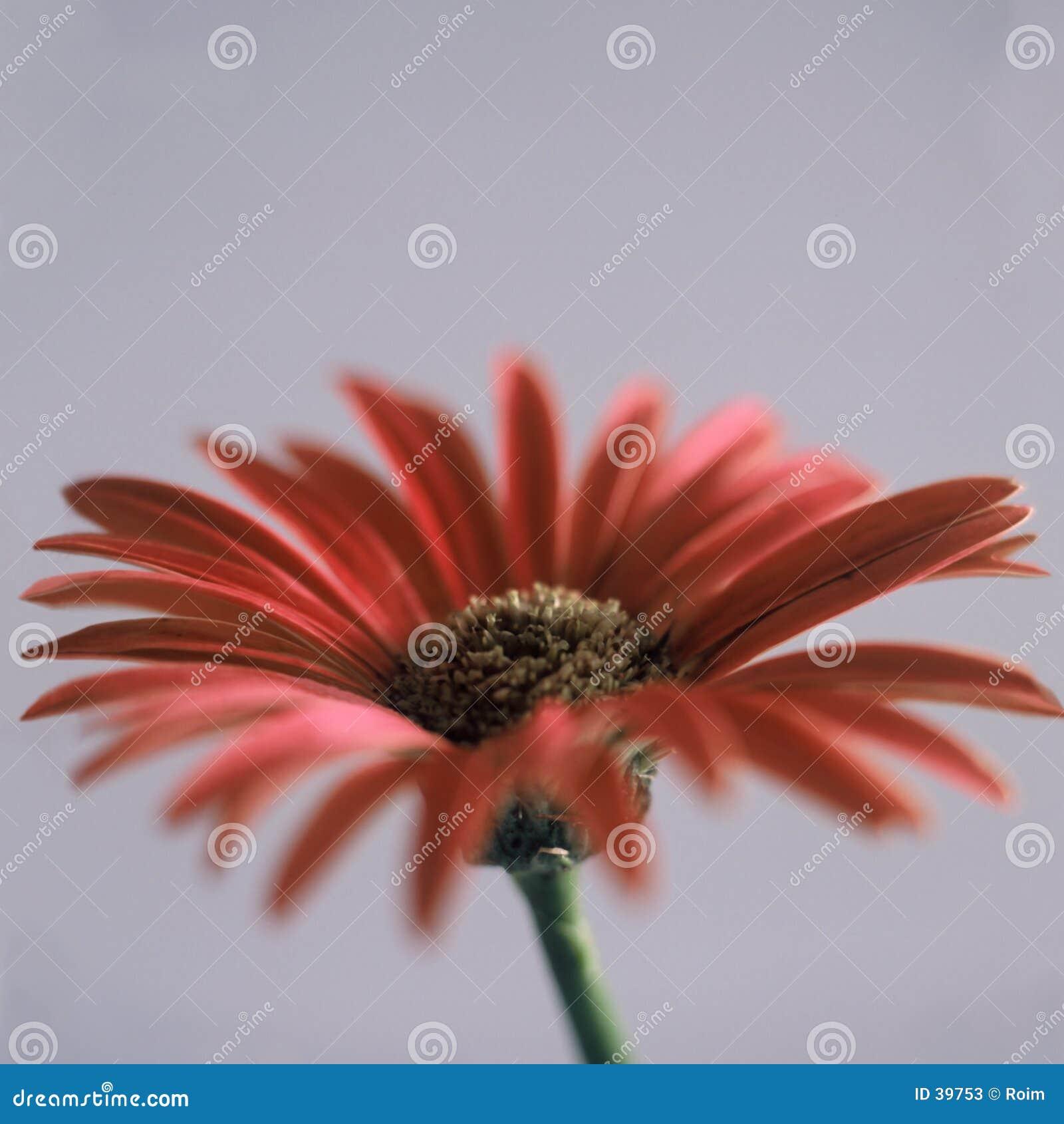 красный цвет цветка маргаритки
