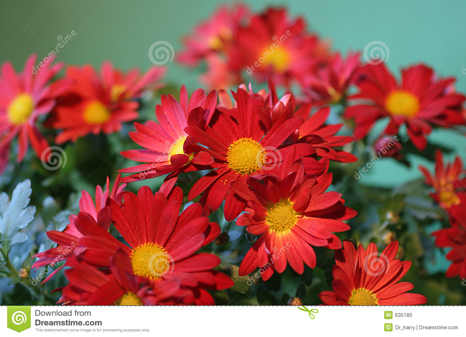 Download красный цвет цветка пука стоковое изображение. изображение насчитывающей душисто - 635185
