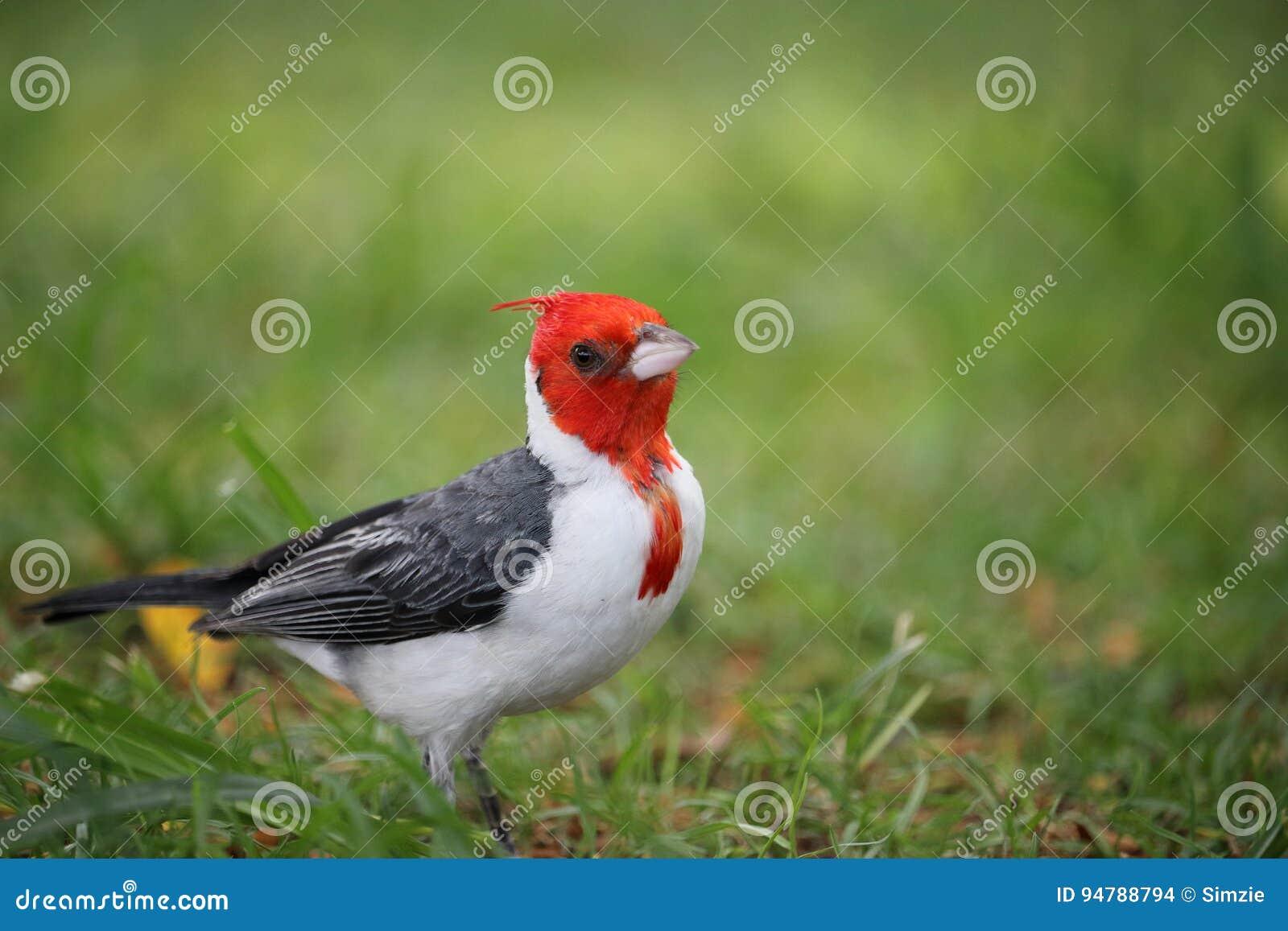 красный цвет crested cardinal