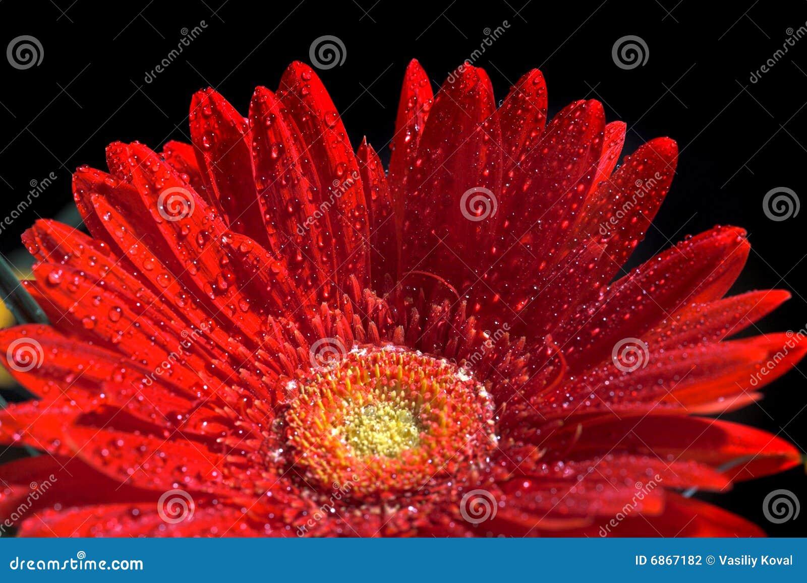 красный цвет gerber цветка