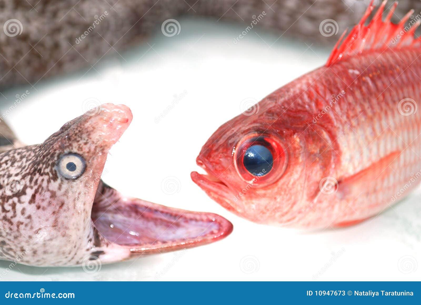 красный цвет moray рыб eel