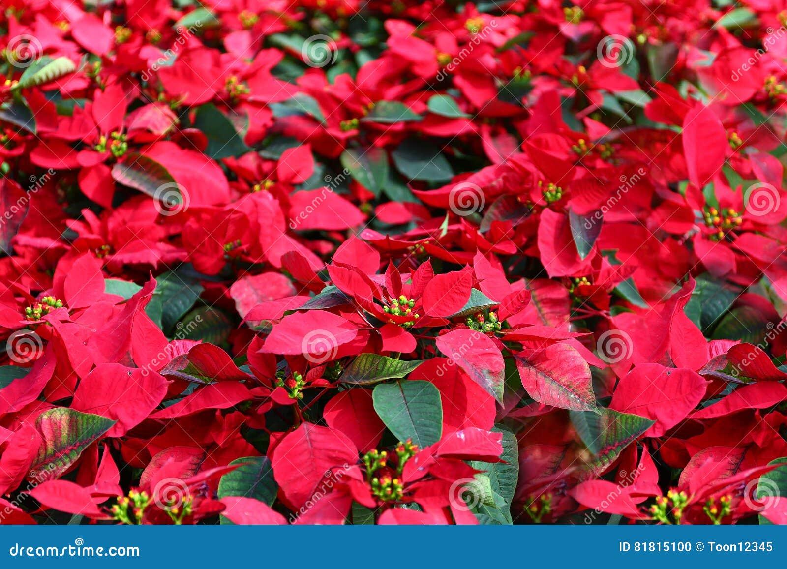 красный цвет poinsettia украшений рождества
