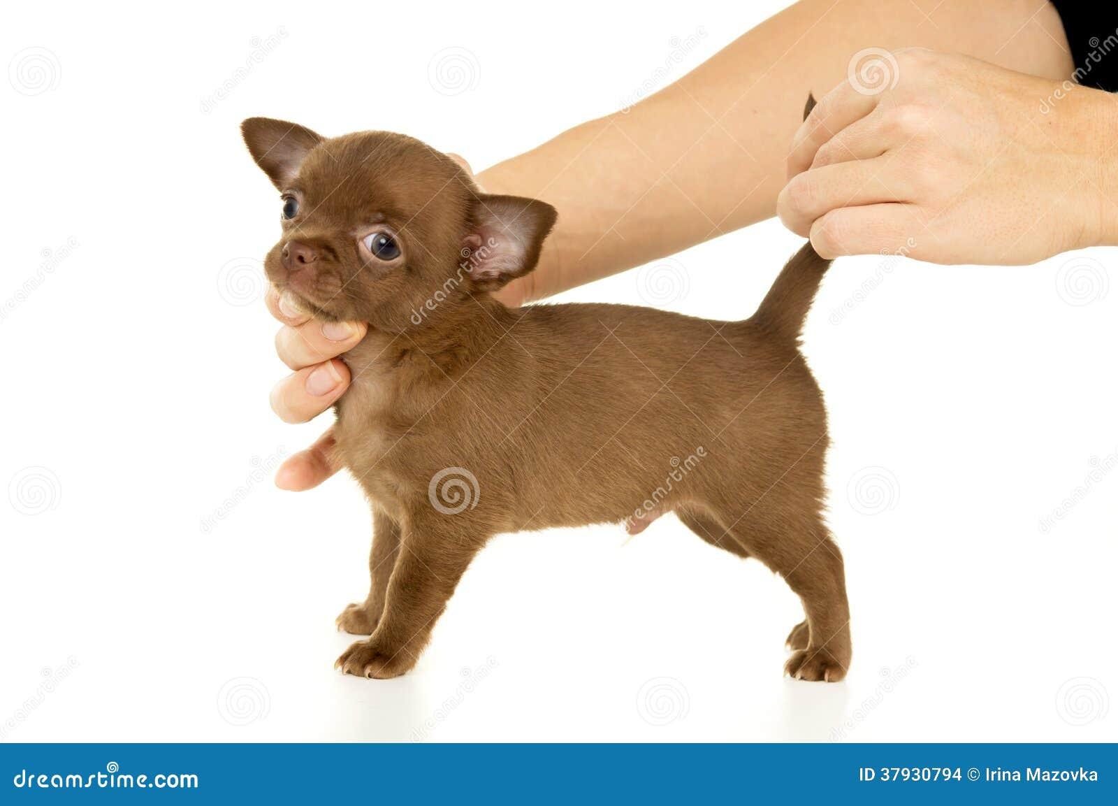 Красный щенок чихуахуа
