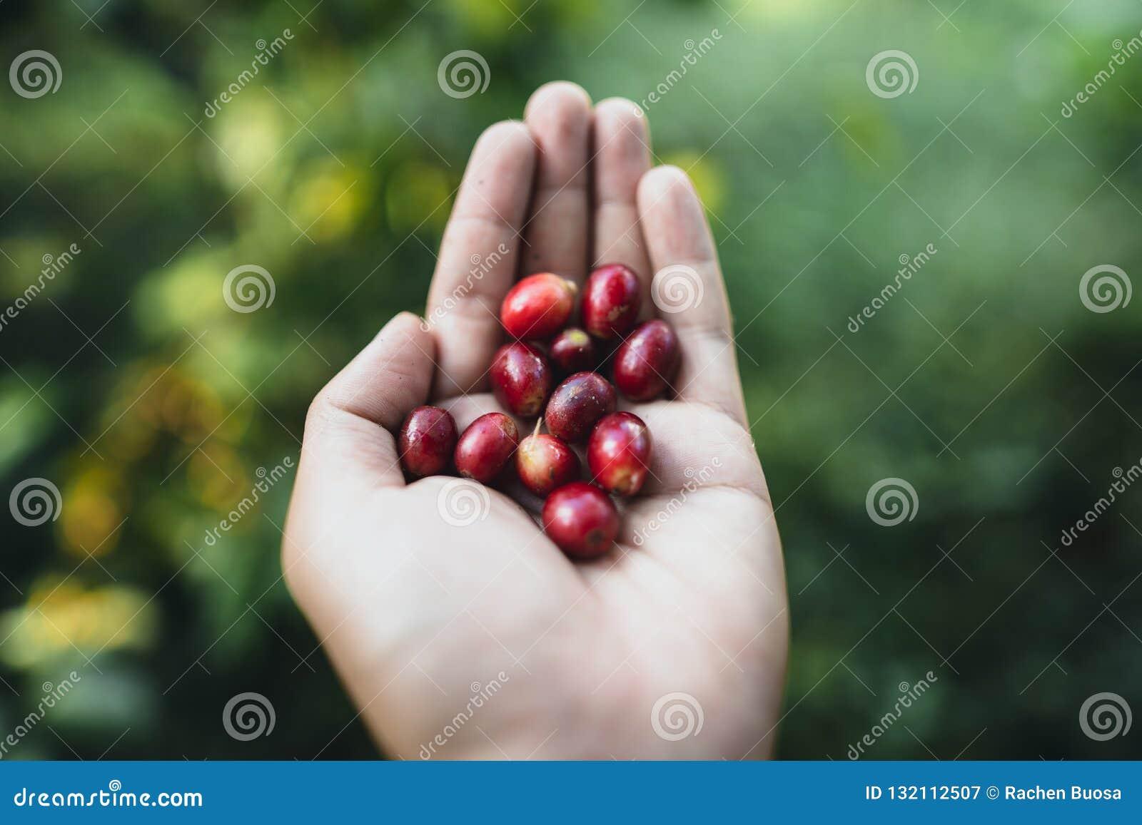 Красный Arabica кофейных зерен вишни в природе