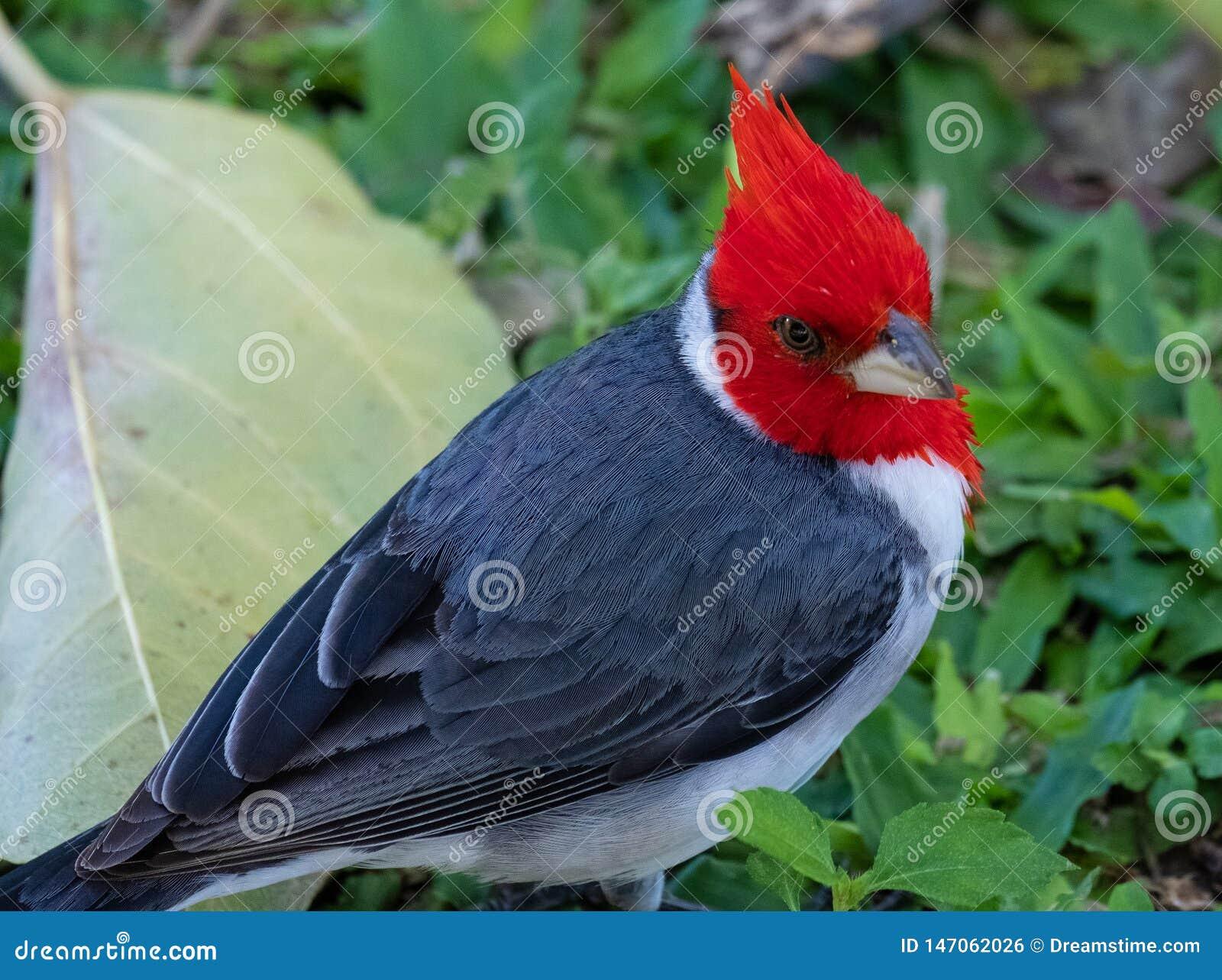 Красный Crested кардинал увиденный в диком в Оаху, Гаваи