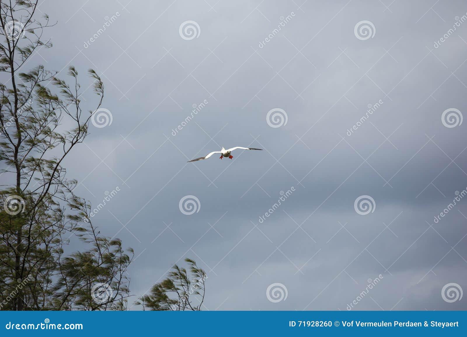Красный footed олух подготавливая приземлиться