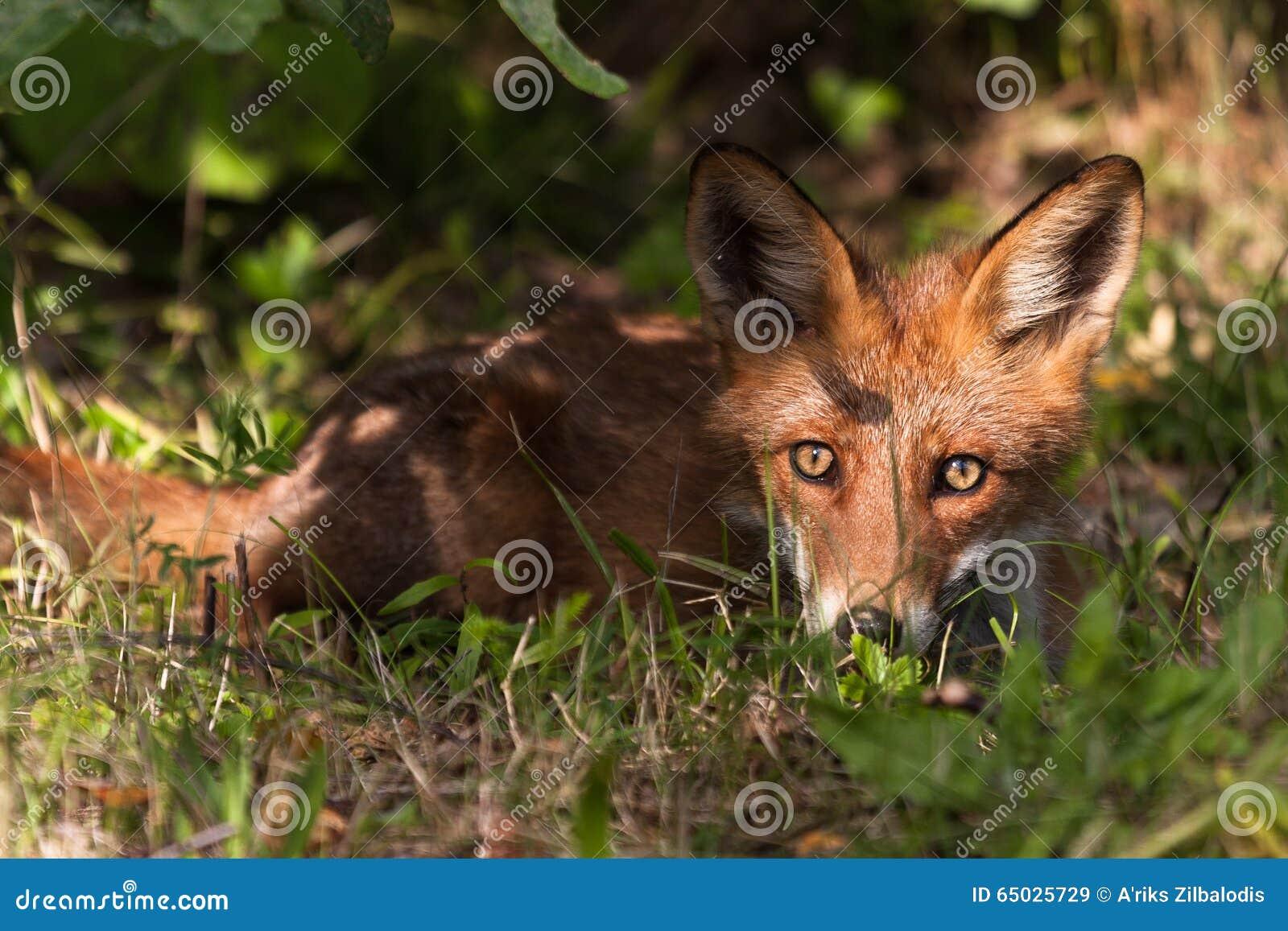 Красный Fox