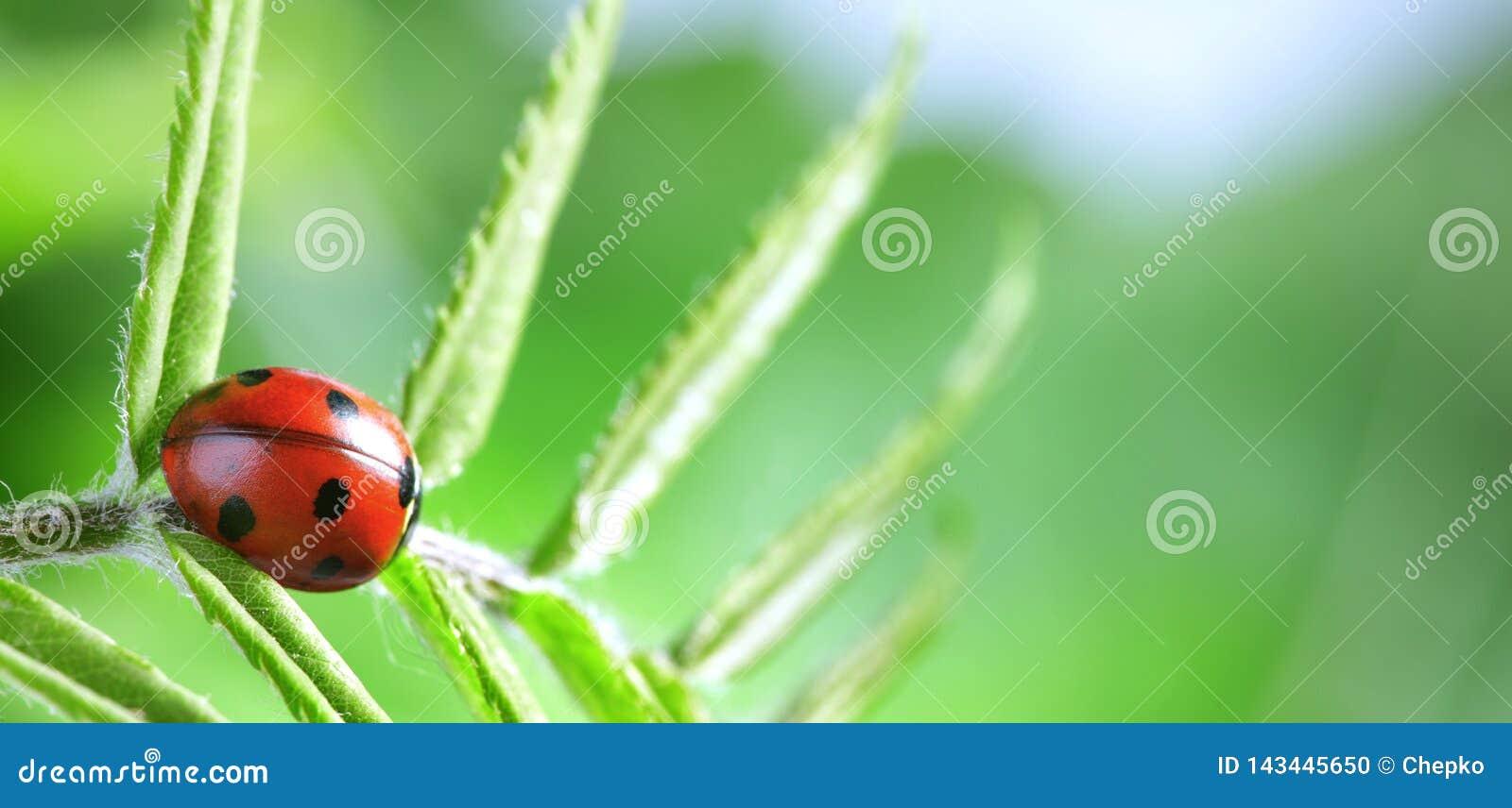 Красный ladybug на зеленых лист, ladybird проползает на стержне завода весной летом сада