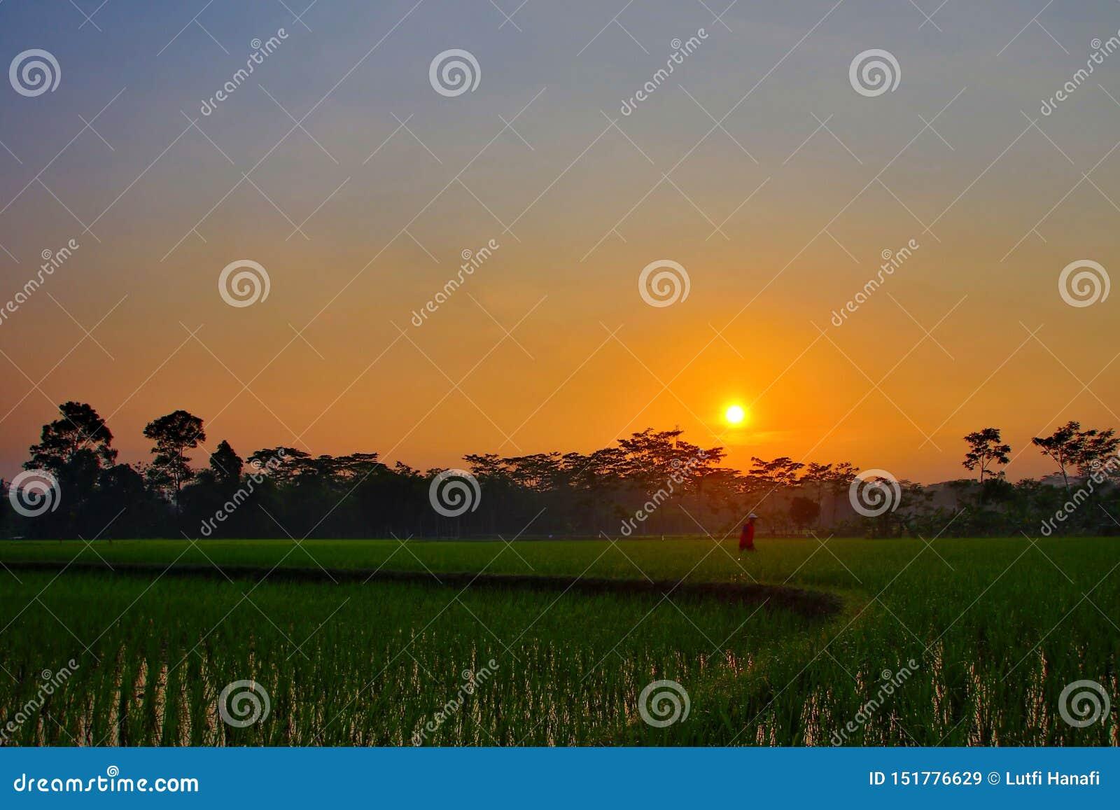 Красота восхода солнца в полях риса