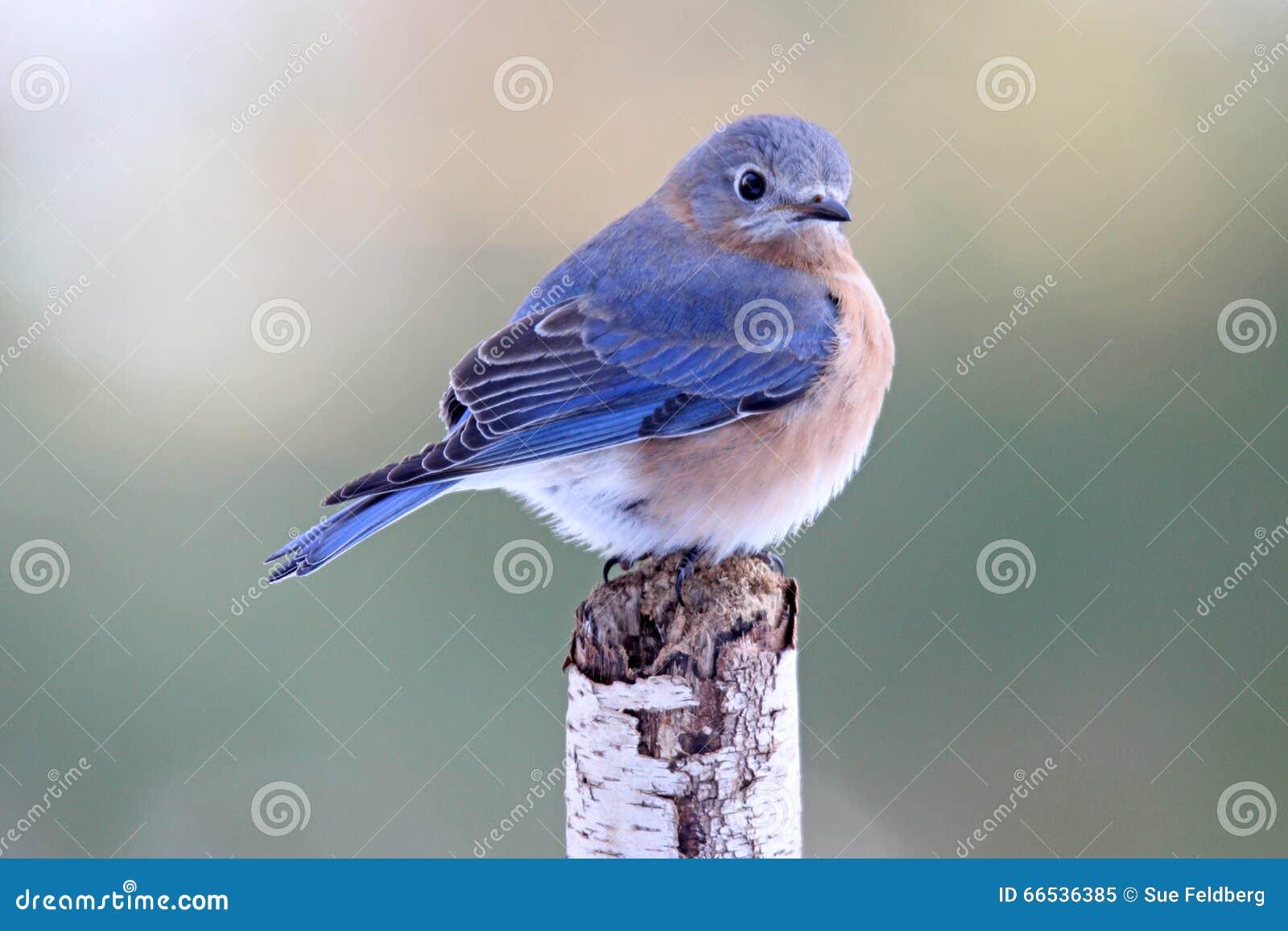 Красота синей птицы