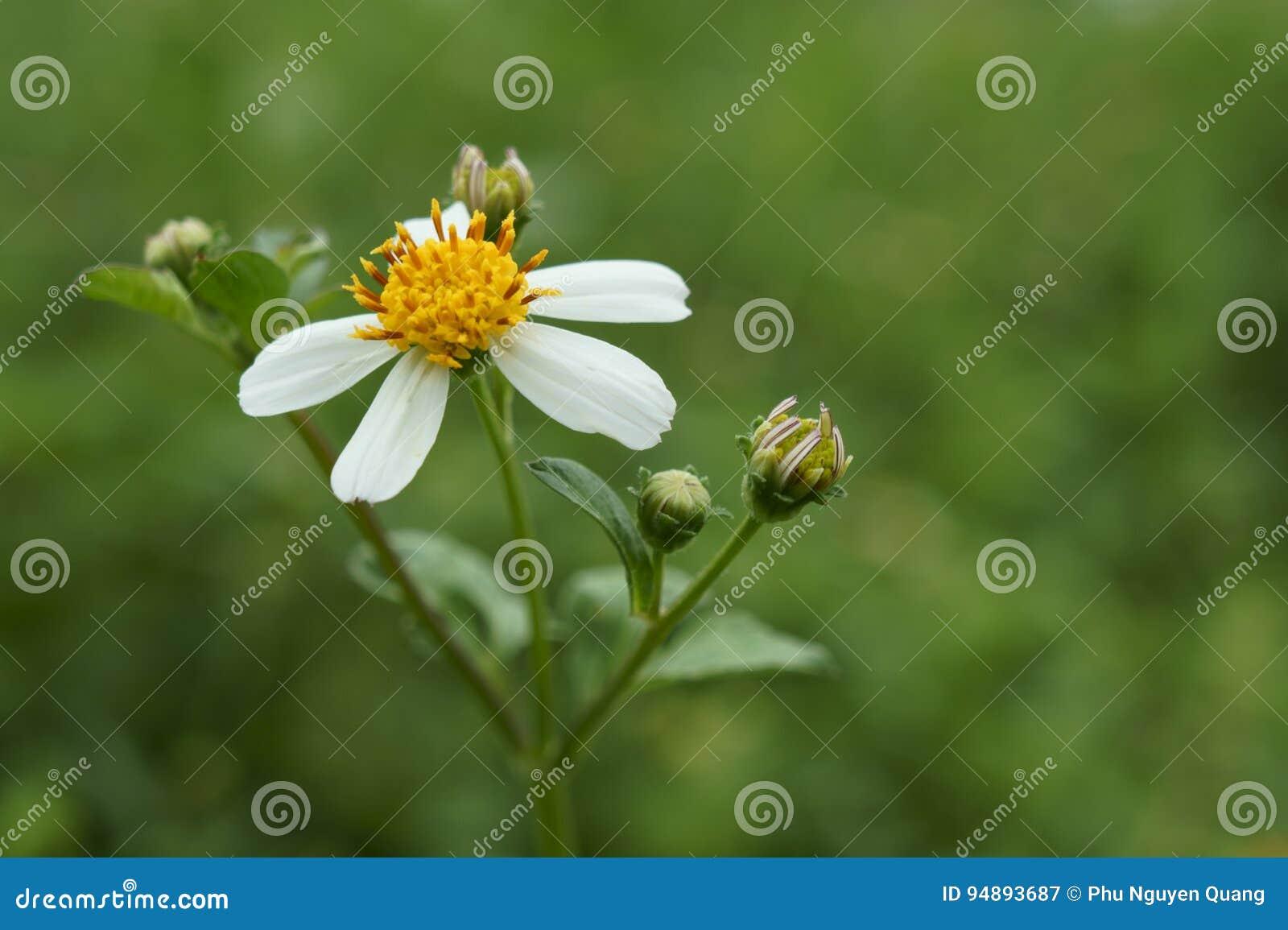 Красота цветков pilosa bidens
