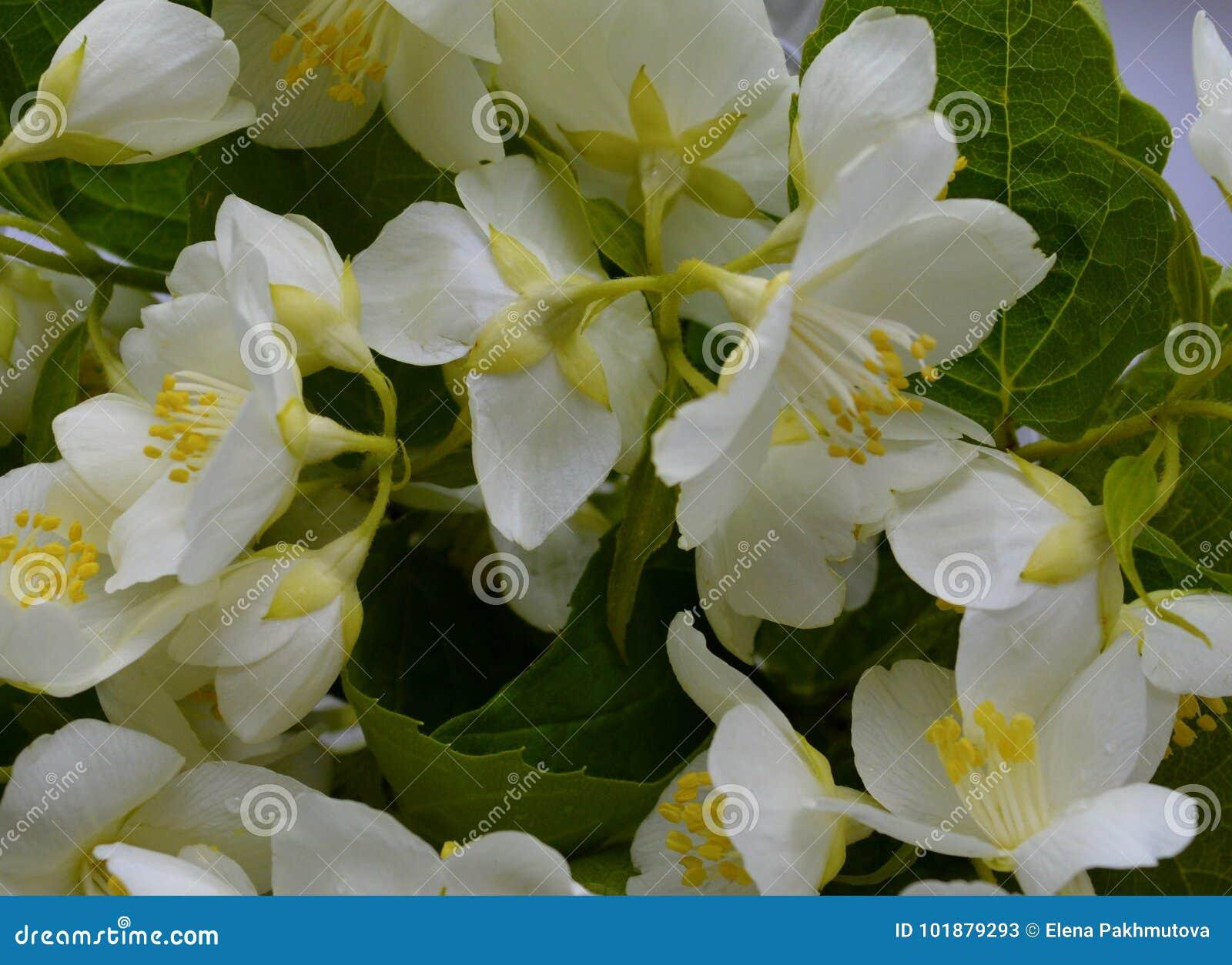 Красоты вишни лепестка флоры лета лист крупного плана цветений цвета яблока сезона ветви картины ткани боярышника blo флористичес
