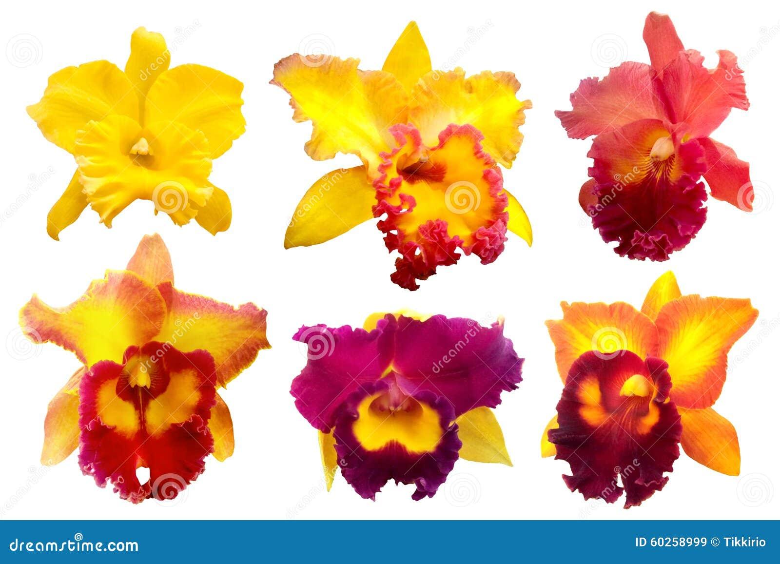 Красочная орхидея изолированная на белой предпосылке