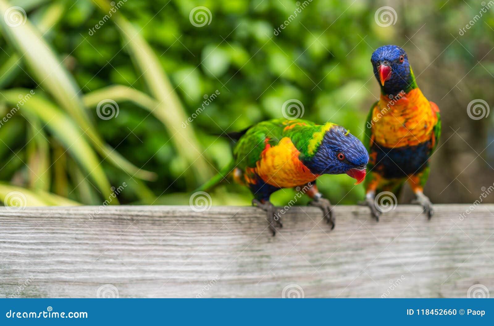 Красочная радуга Lorikeets попугаев в зоопарке